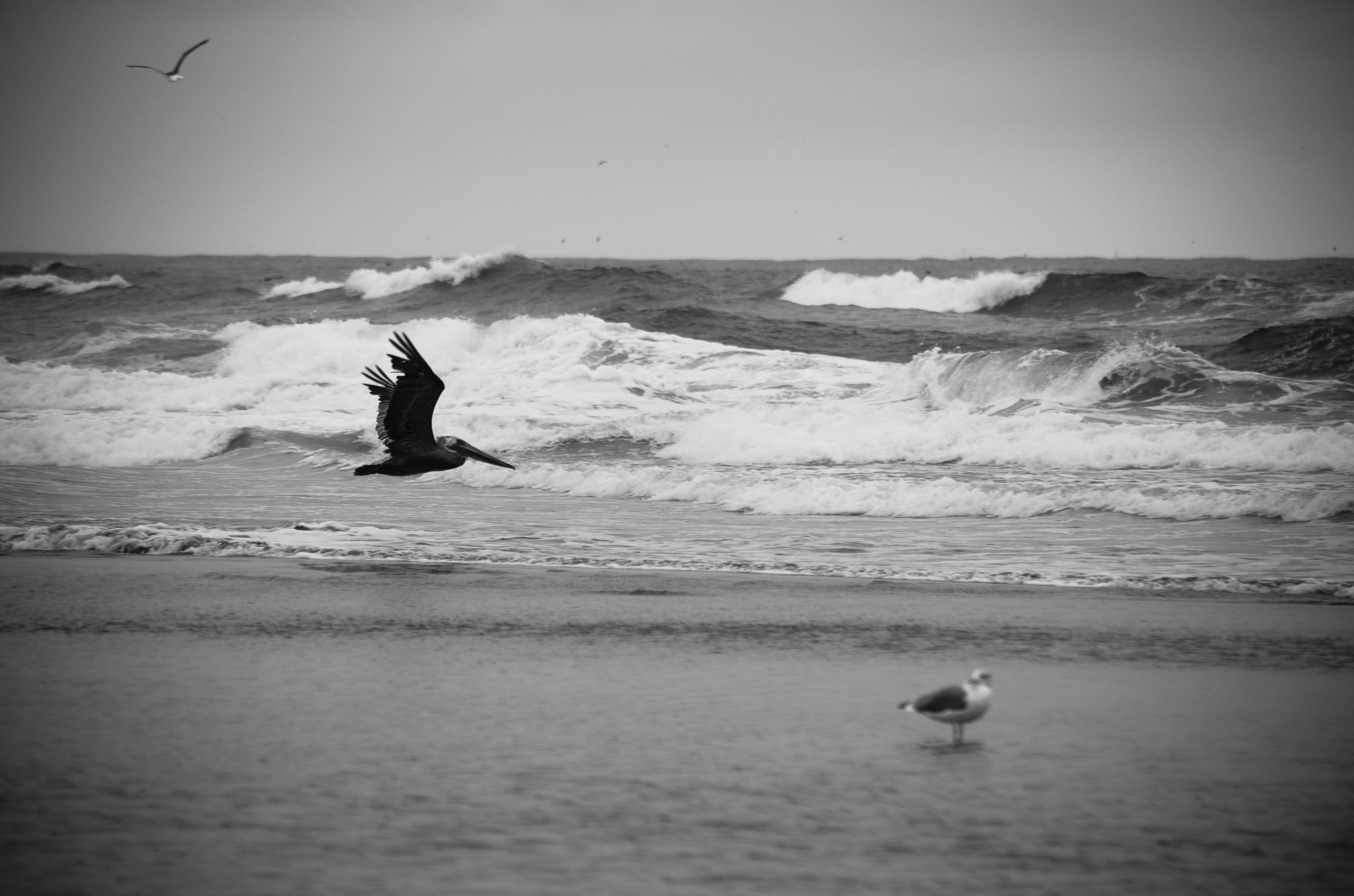 Pelican in flight by nicki.jennings