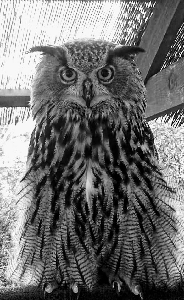 Magnificent Owl by katrina.m.little.7