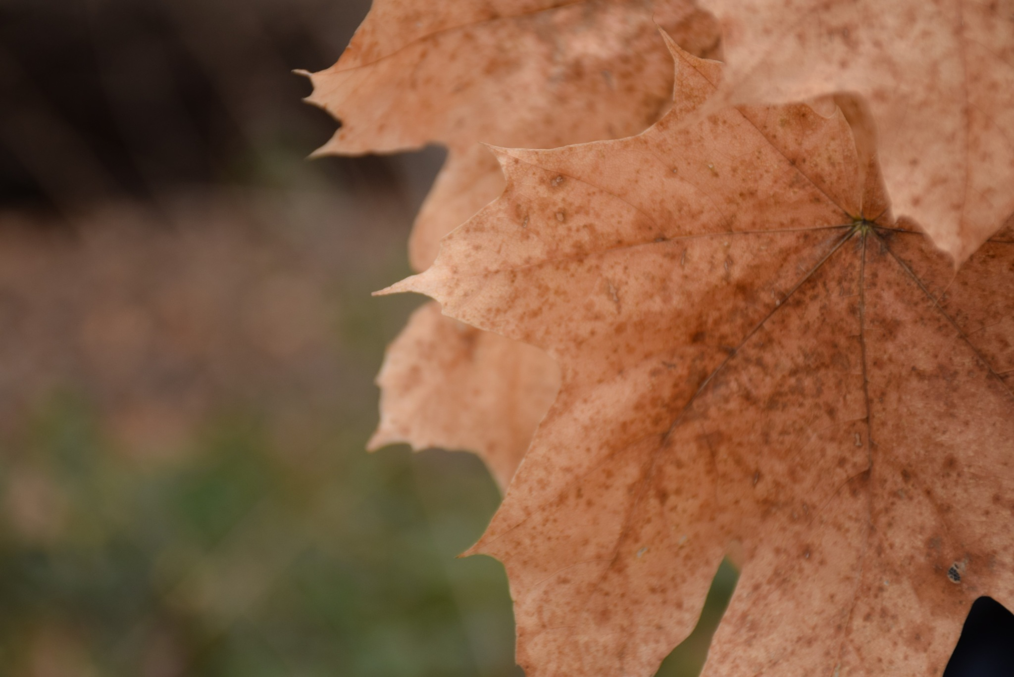 Photo in Random #winter #leaf #leaves #gold #dried