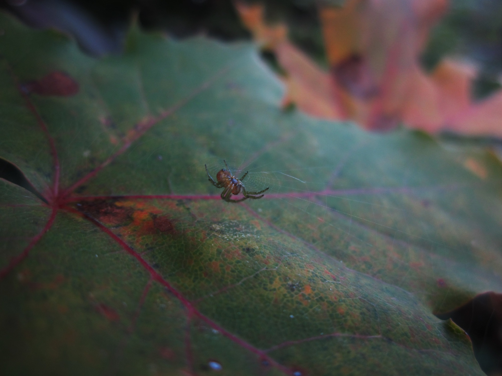 Little Spider by Marija Konjik