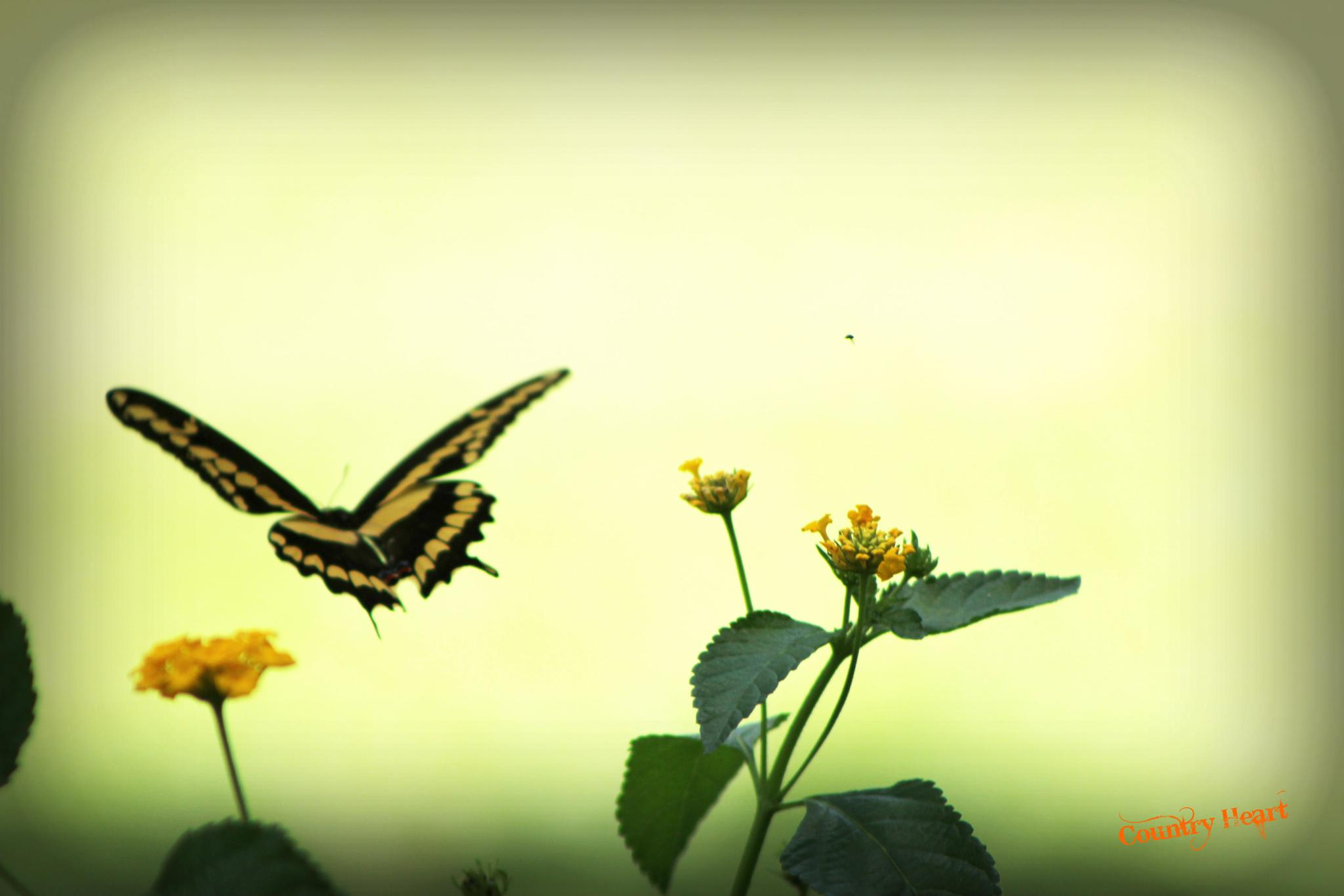 Swallowtail Butterfly In Flight by CountryHeartPhotography