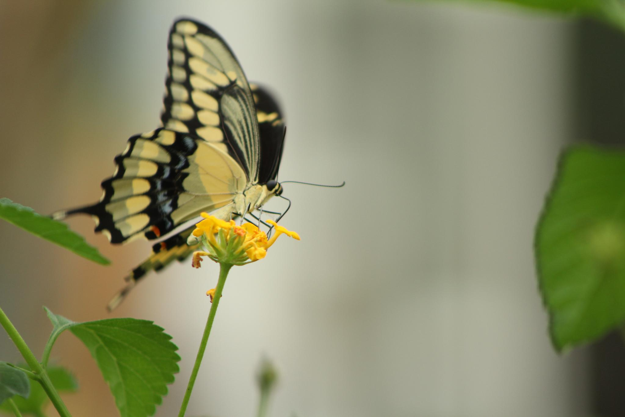 Swallowtail Looking On by CountryHeartPhotography