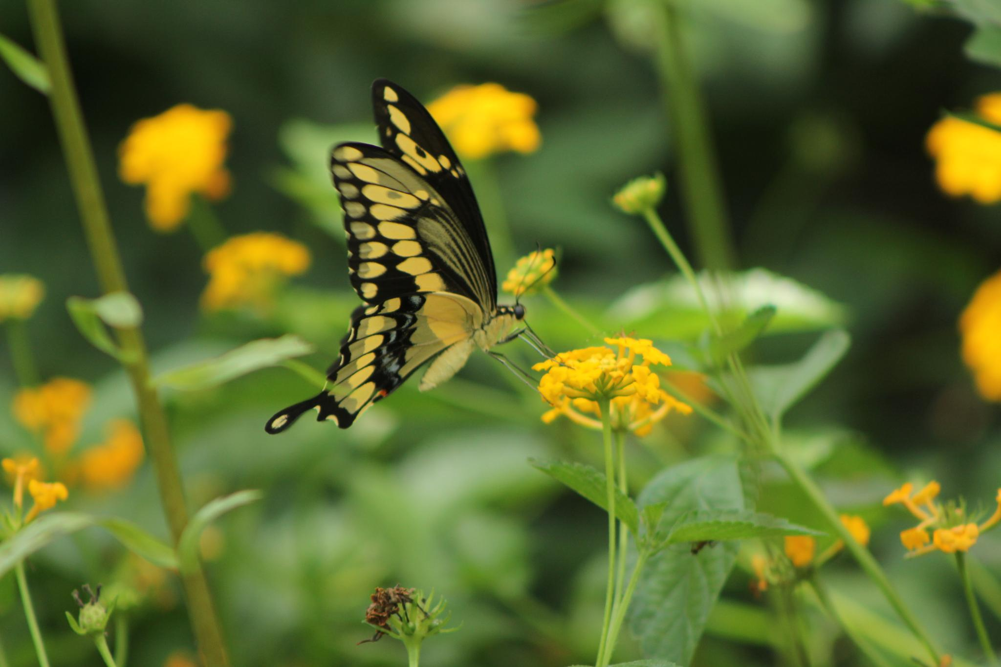 Swallowtail Butterfly by CountryHeartPhotography