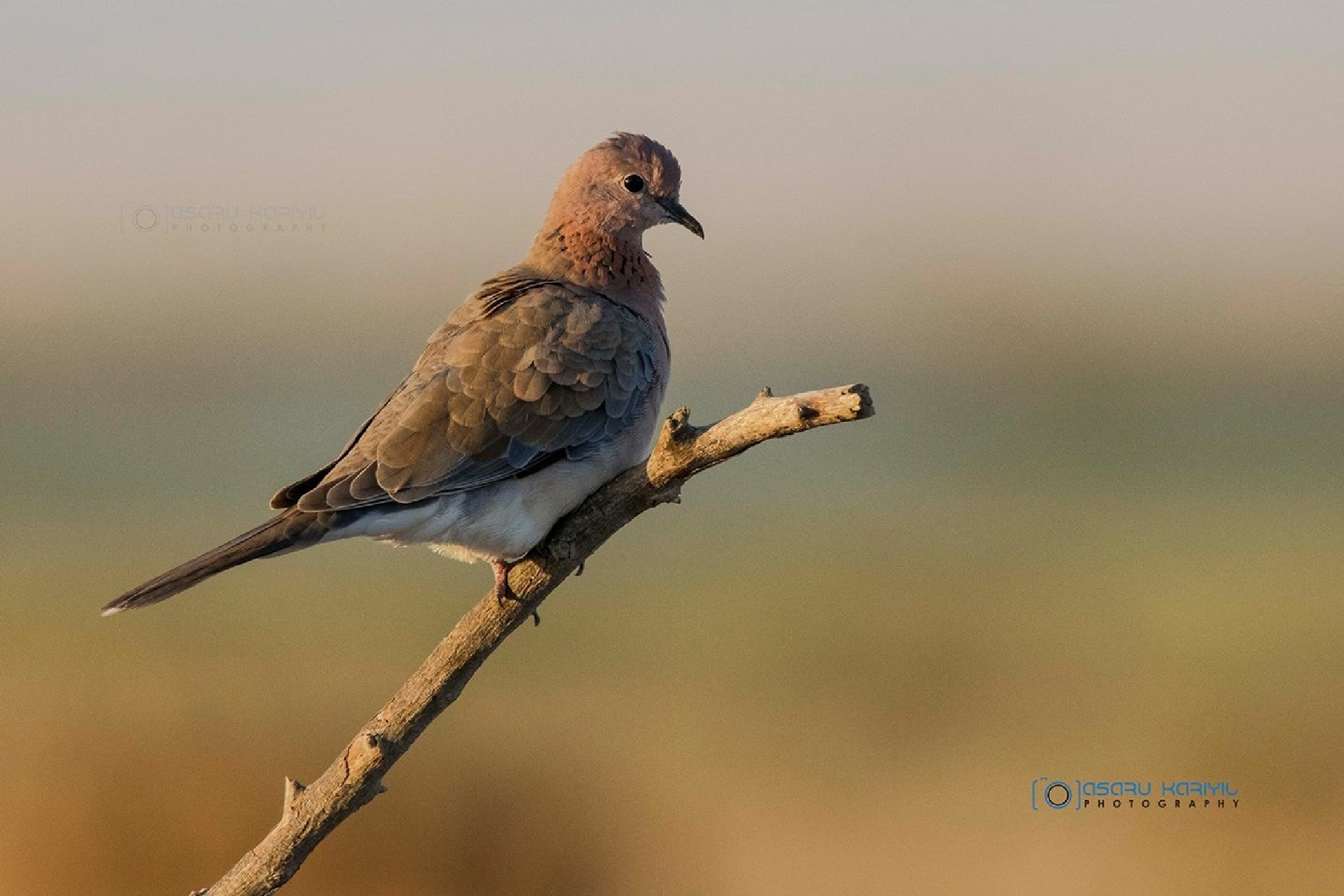 Laughing Dove  by Asaru Kariyil Photography