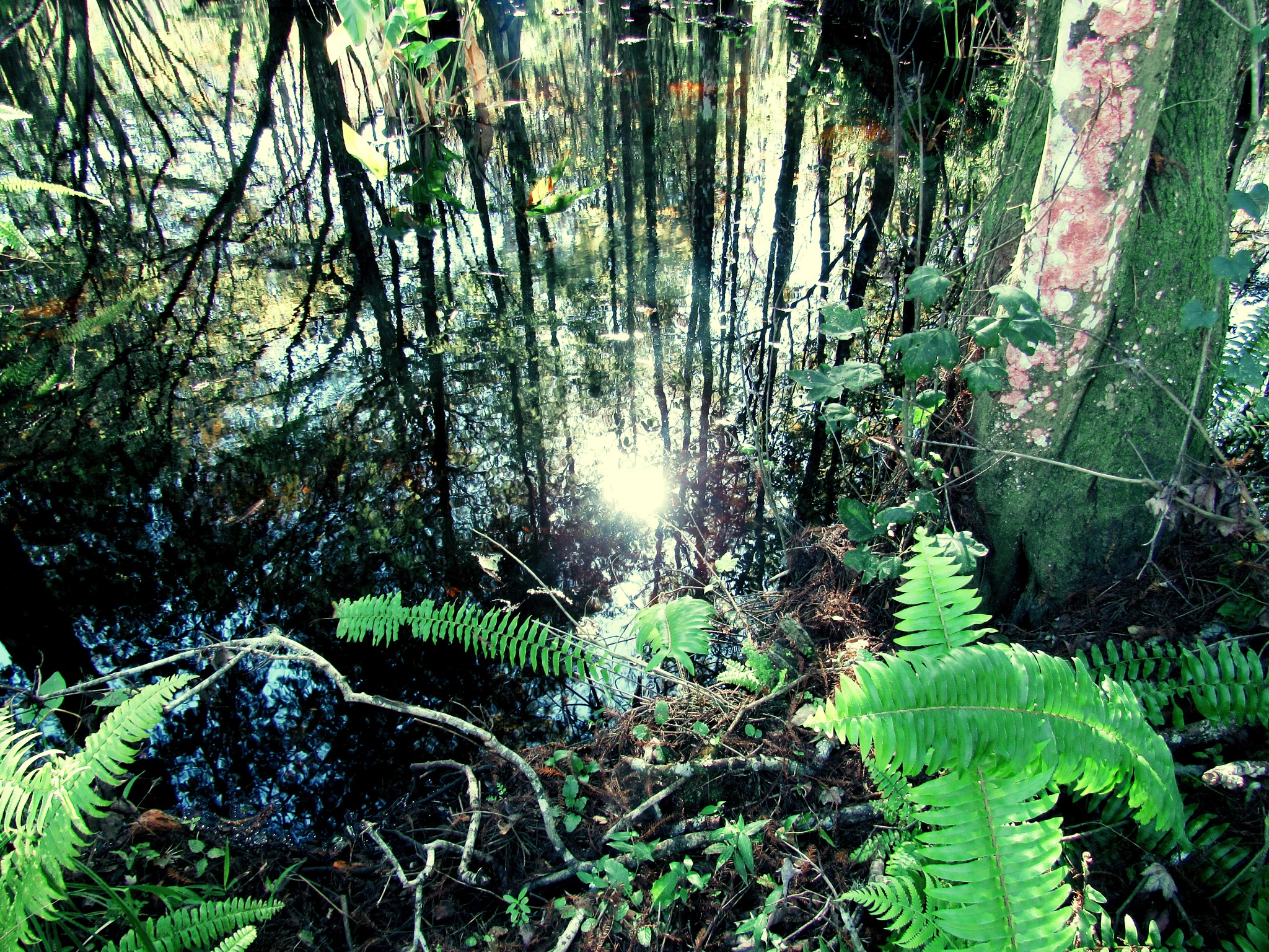 Ferns and Reflections by Todd