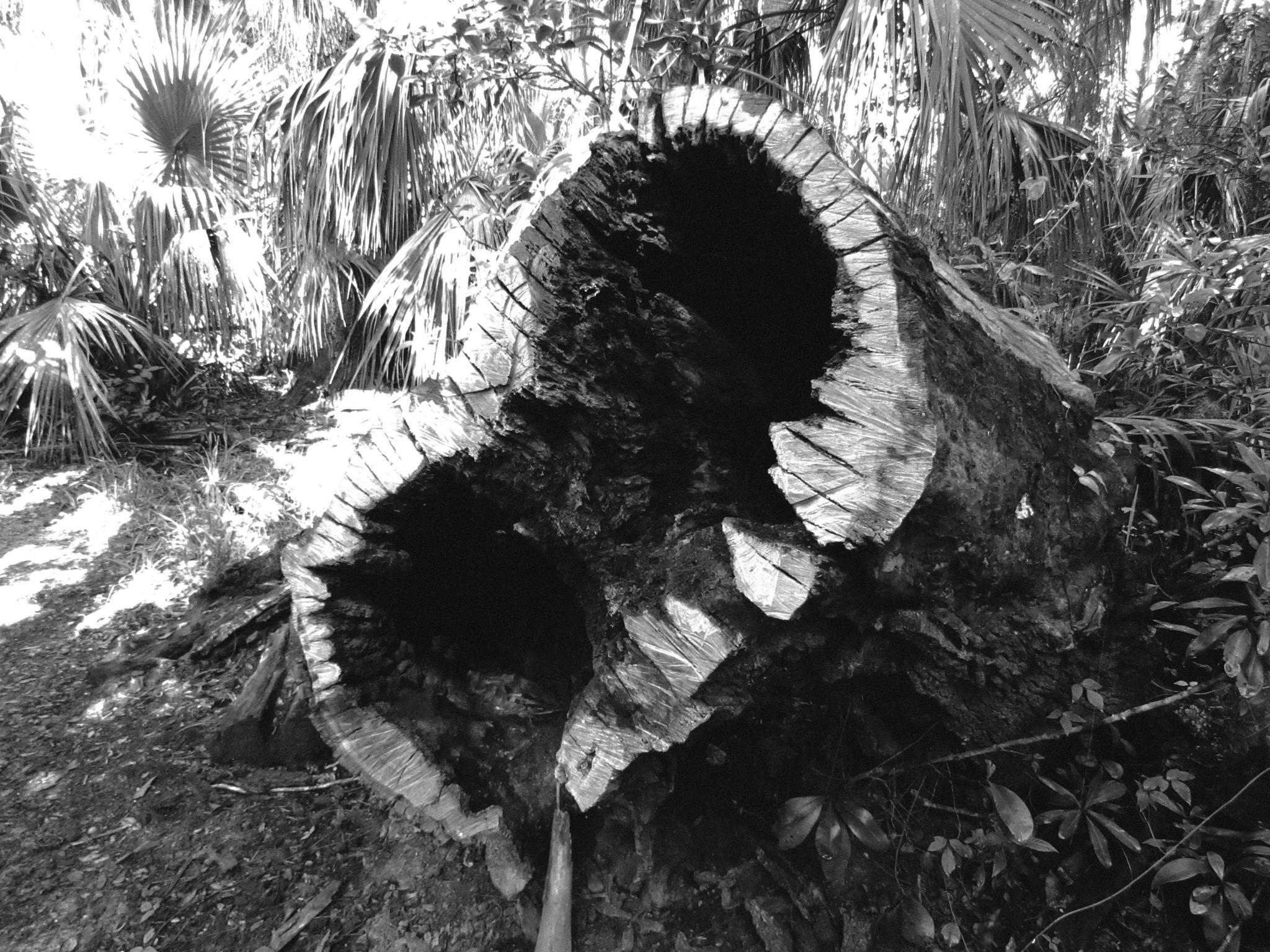 Tree Teeth by Todd