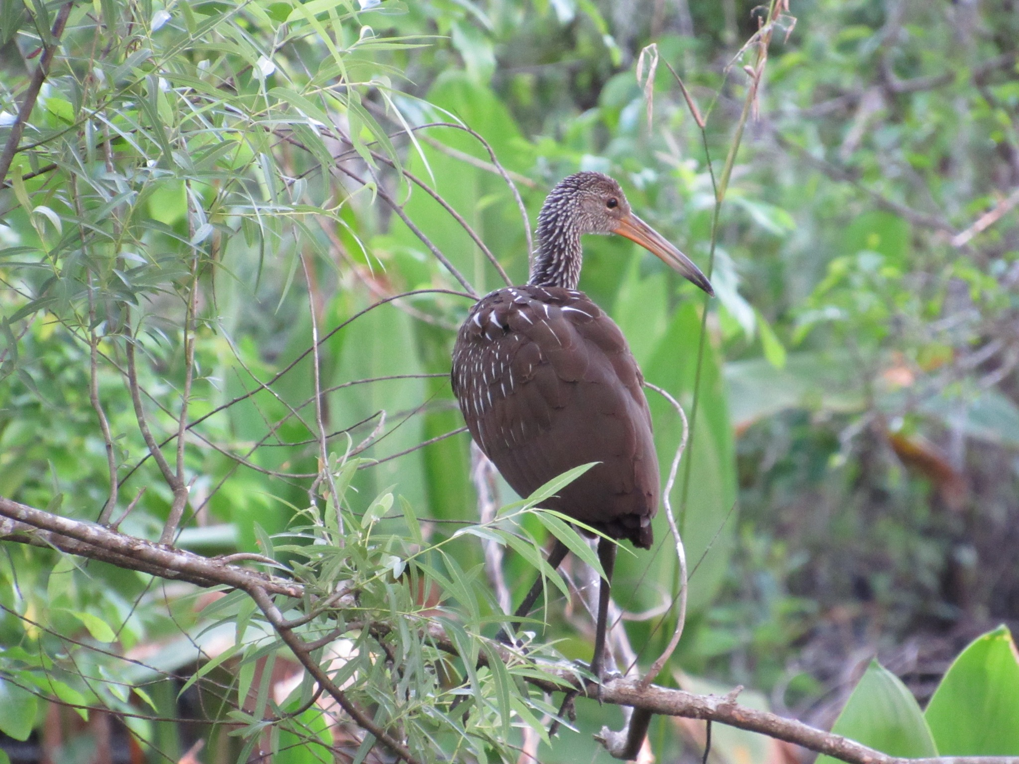 Limpkin At Rest by Todd