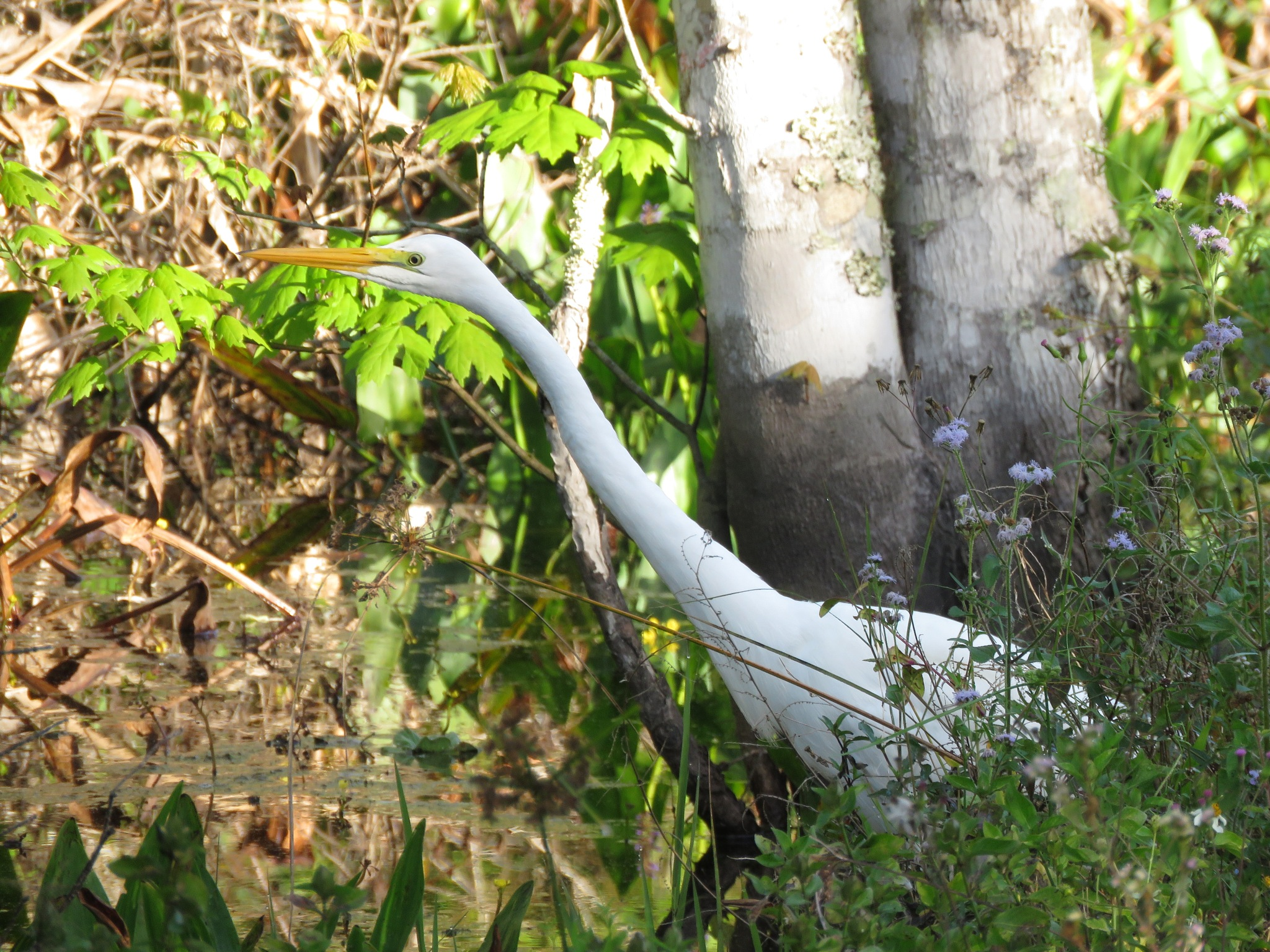 Photo in Nature #great egret #yearning #bird #hunting #nature #c.r.e.w. #bird rookery swamp #everglades #florida