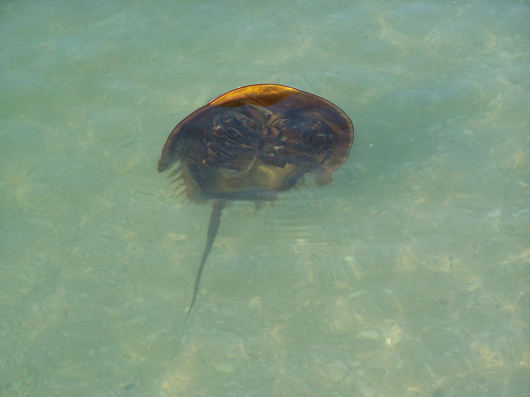 Horseshoe Crab Attack by Todd