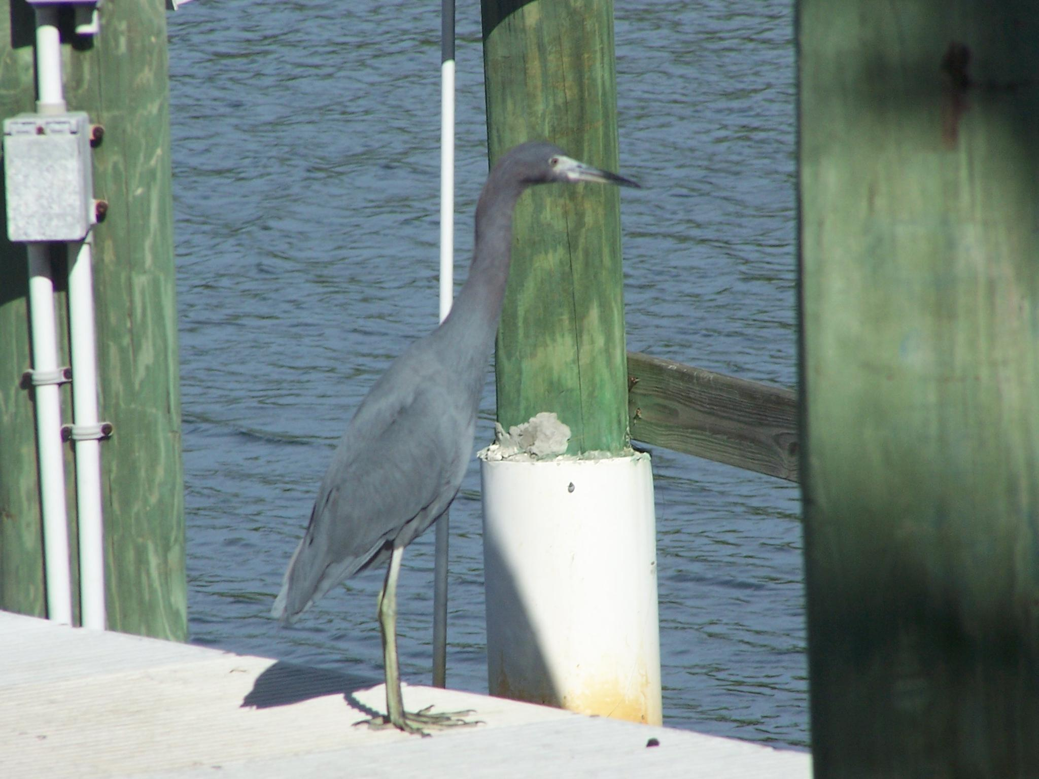 Little Blue Heron by Todd
