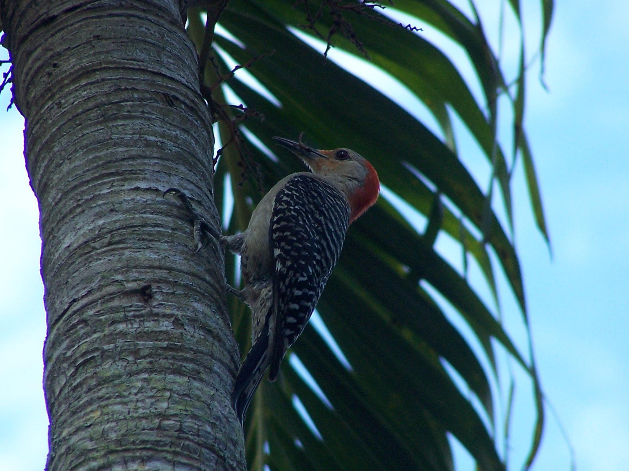 Photo in Nature #red-headed woodpecker #bonita springs #florida