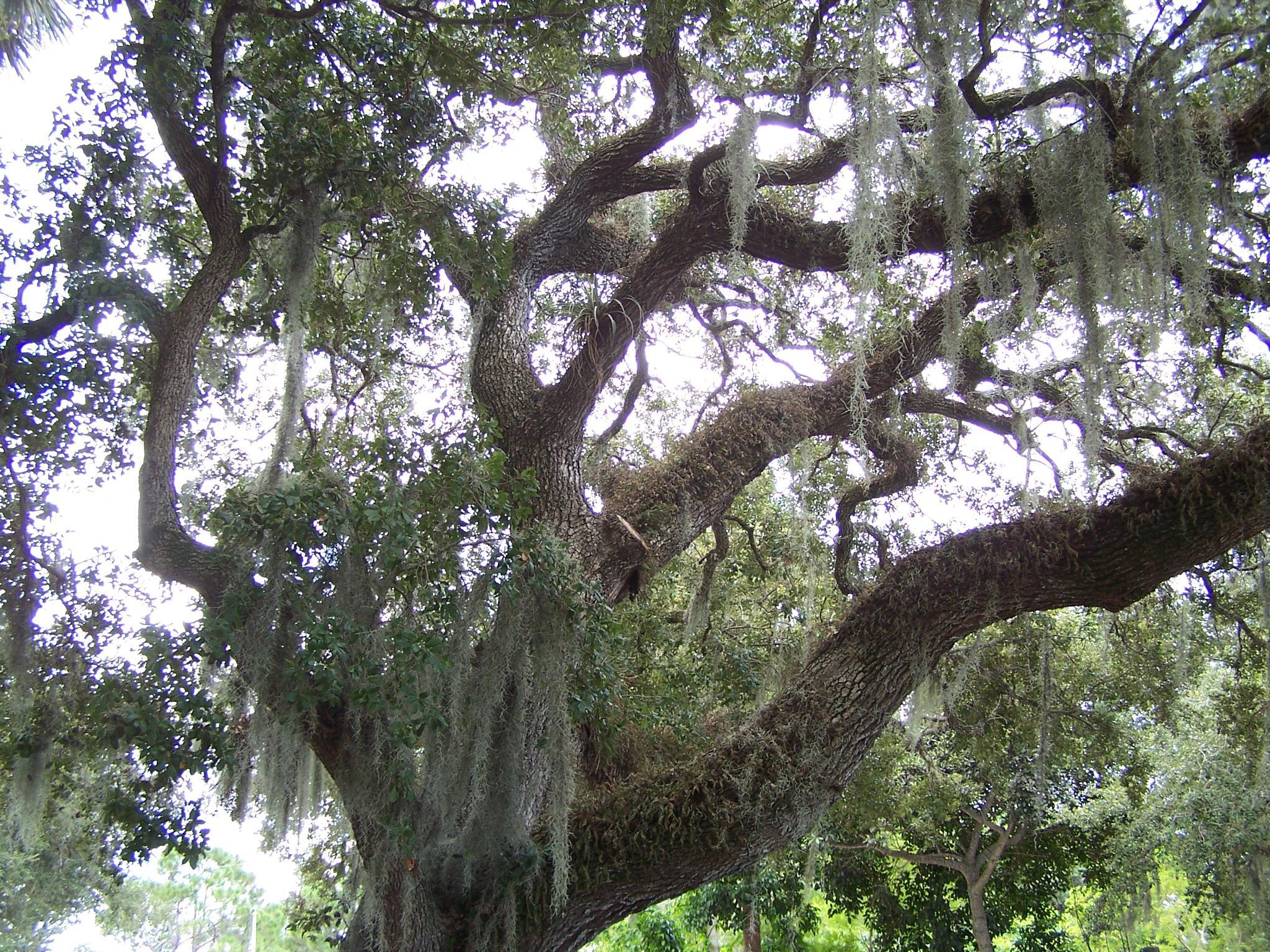 Oak by Todd