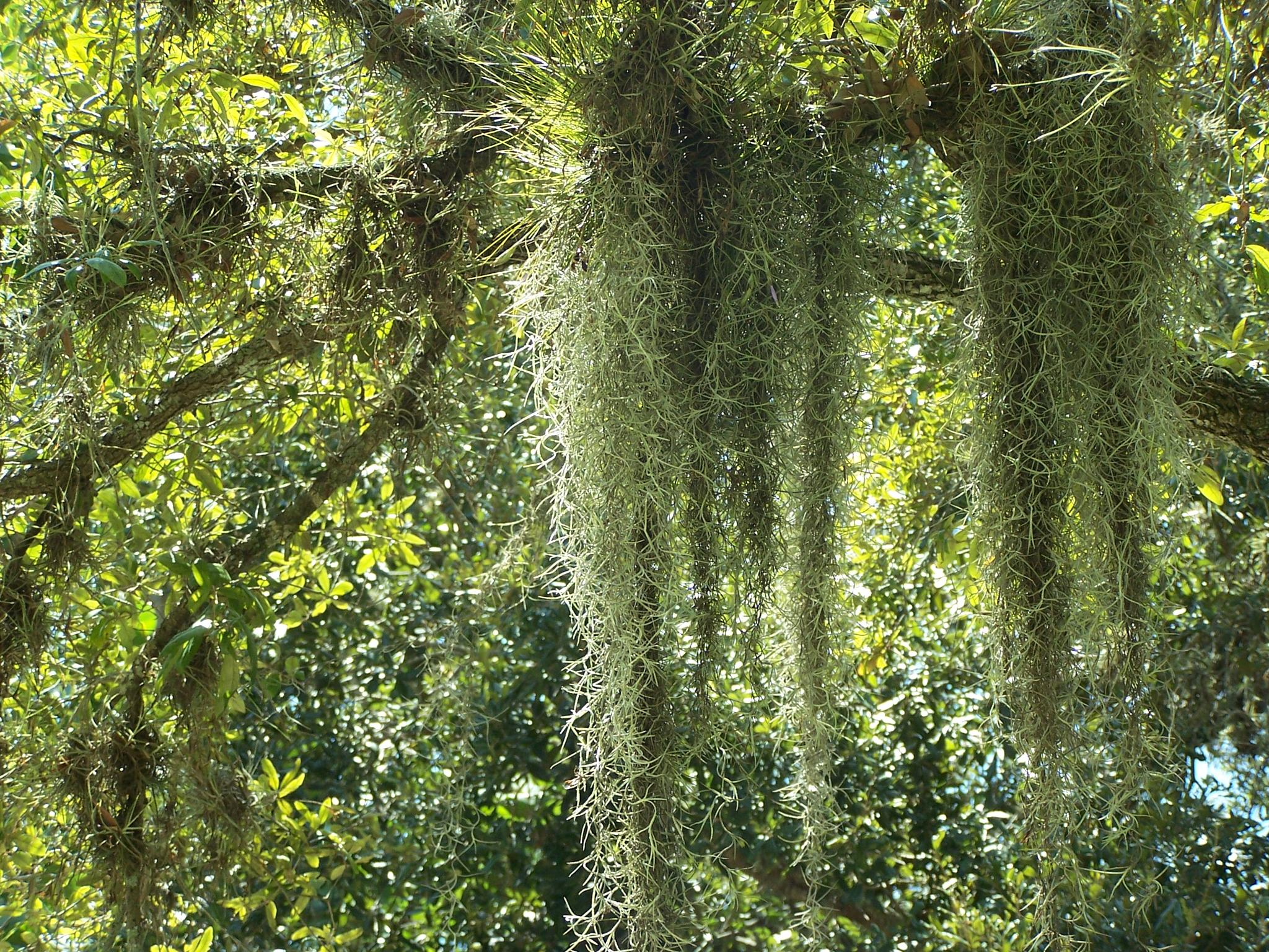 Spanish Moss by Todd