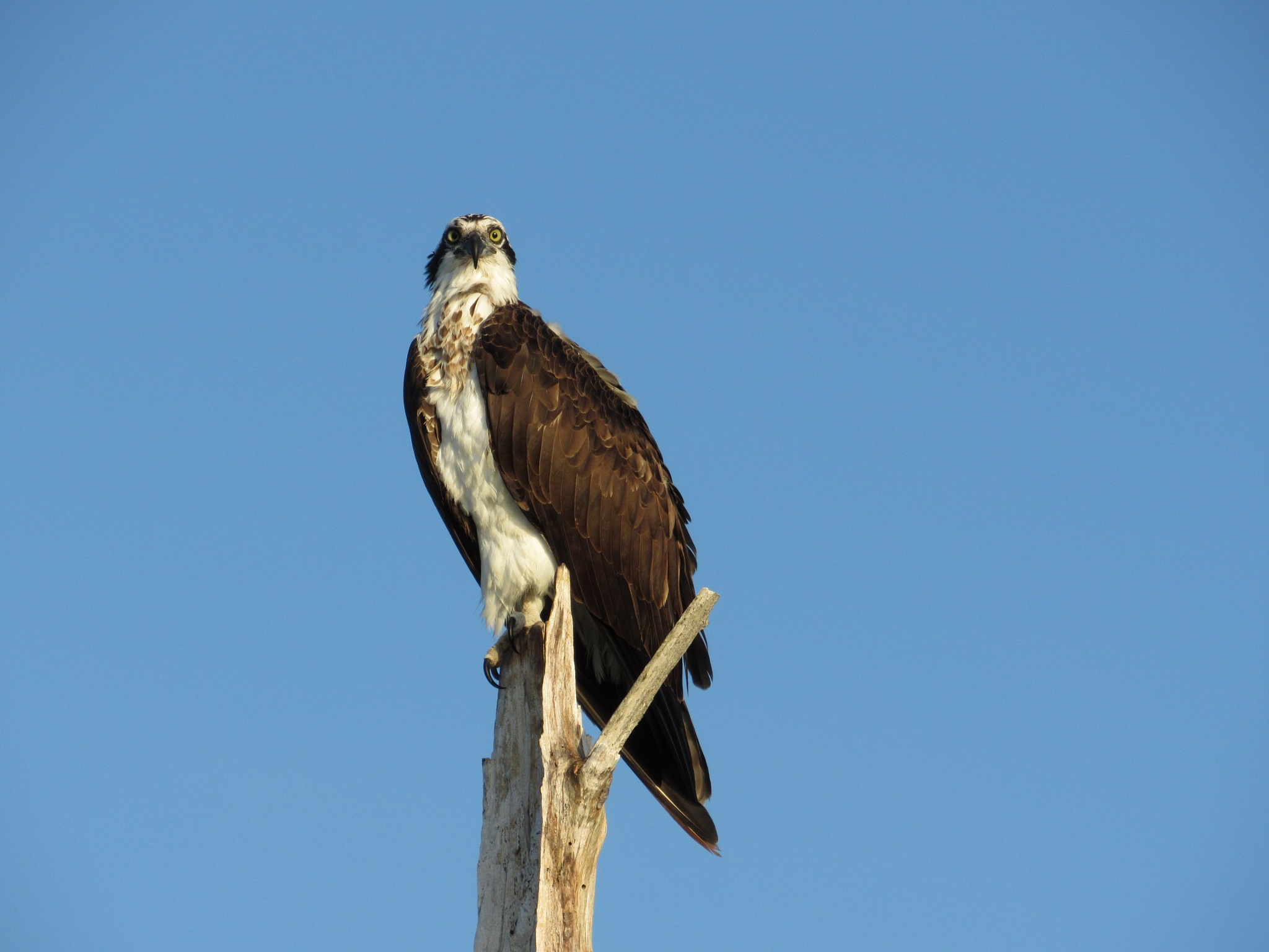 Osprey  # 1 by Todd