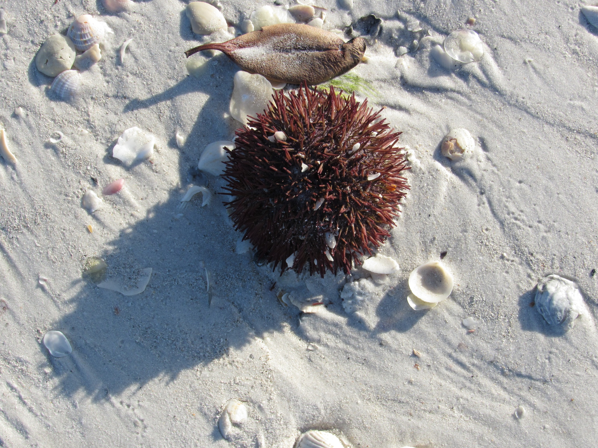 Sea Urchin and Sand by Todd