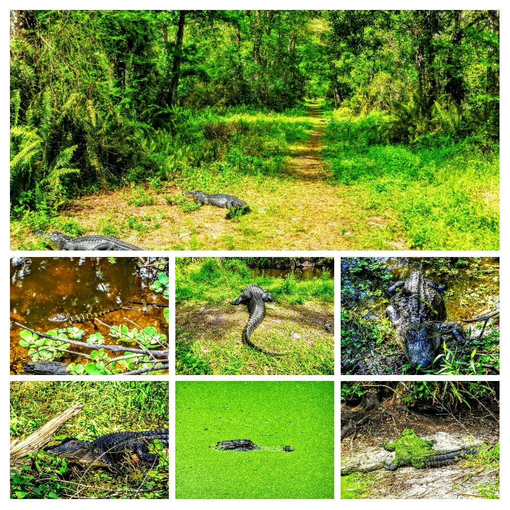 Gator Collage by Todd