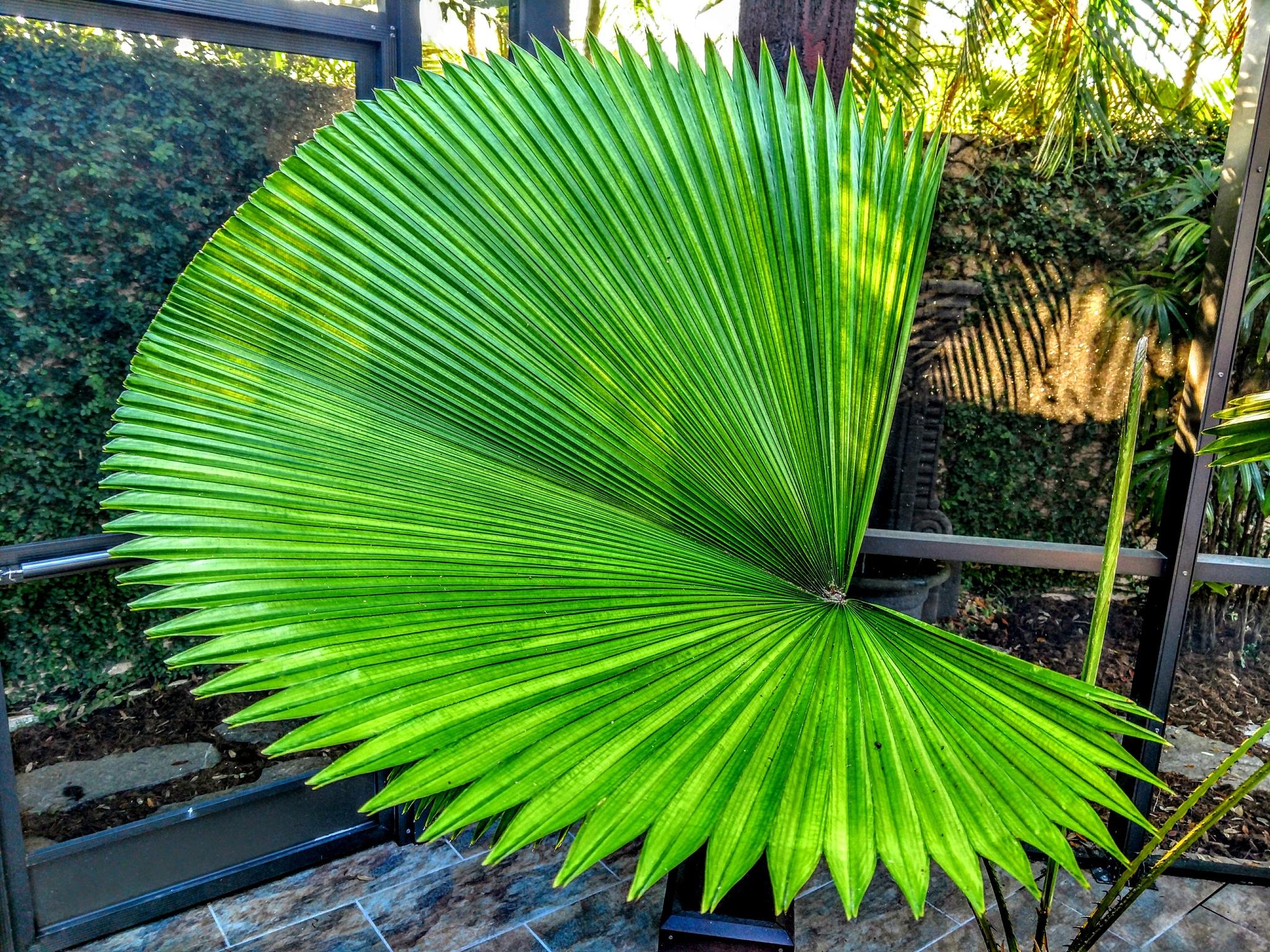Fan Palm by Todd