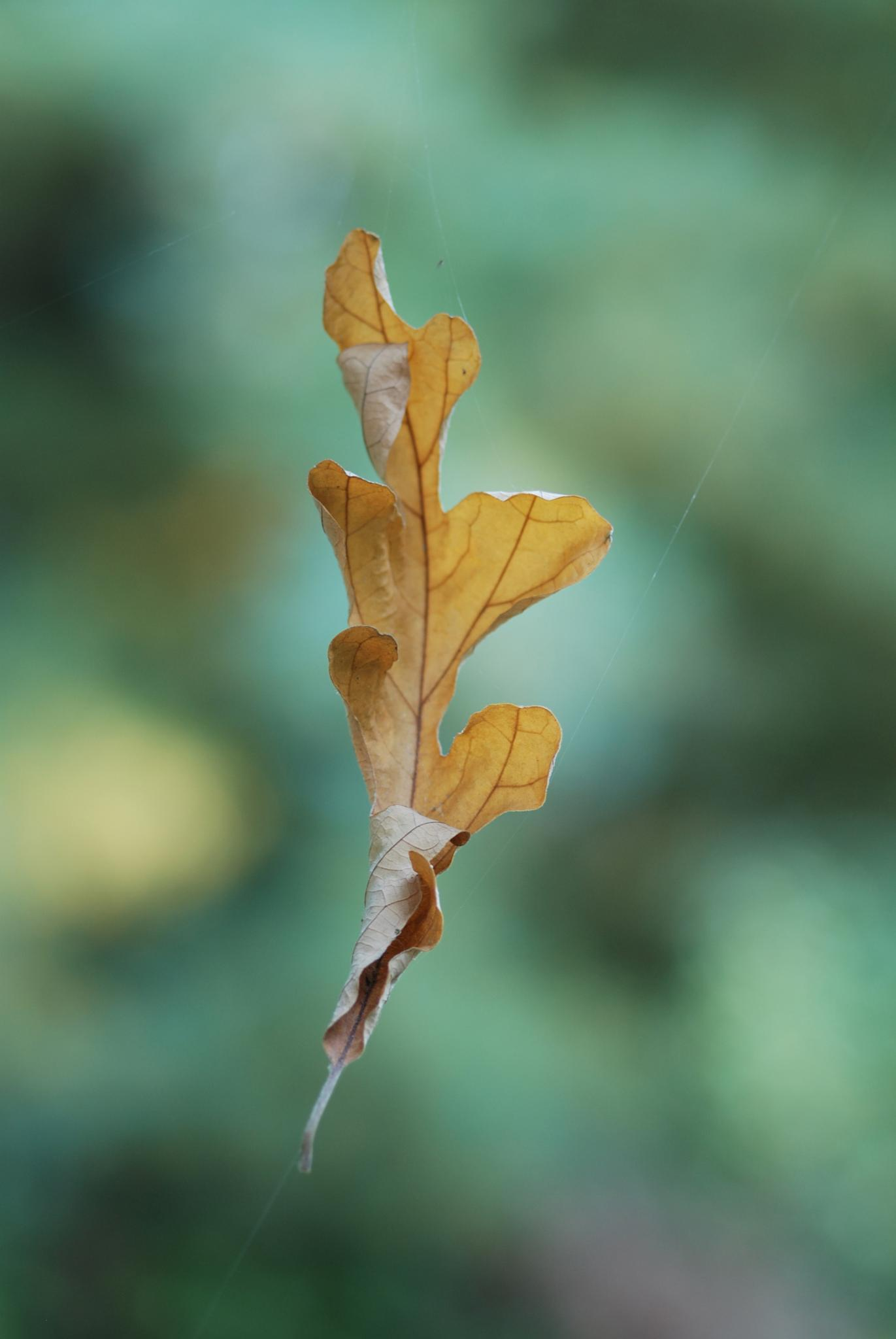Oak Leaf by Touch of Nature