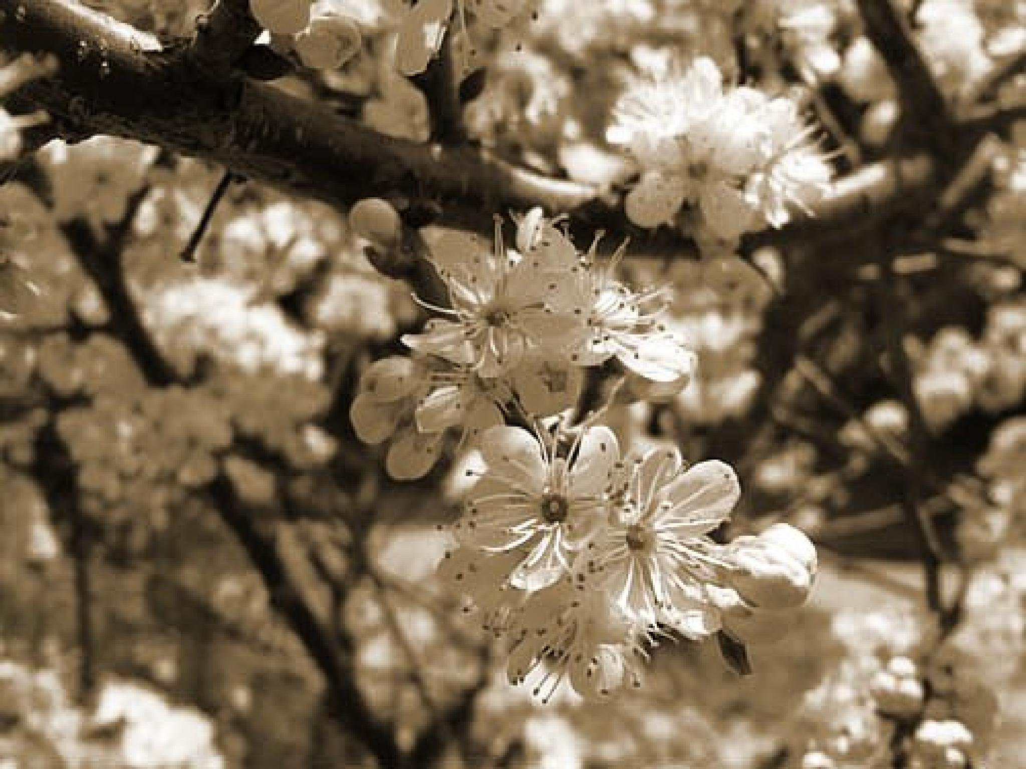 Photo in Black and White #may #flowers #branch #tree