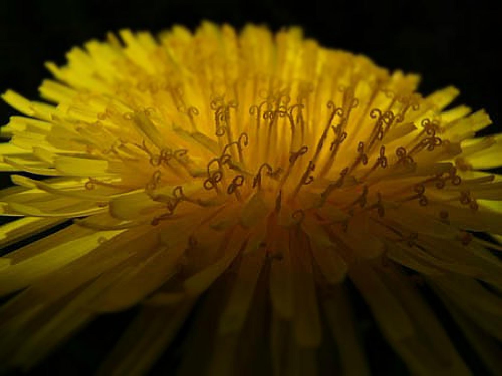 Photo in Nature #dandelion #weed #yard #garden #yellow #shadow #black