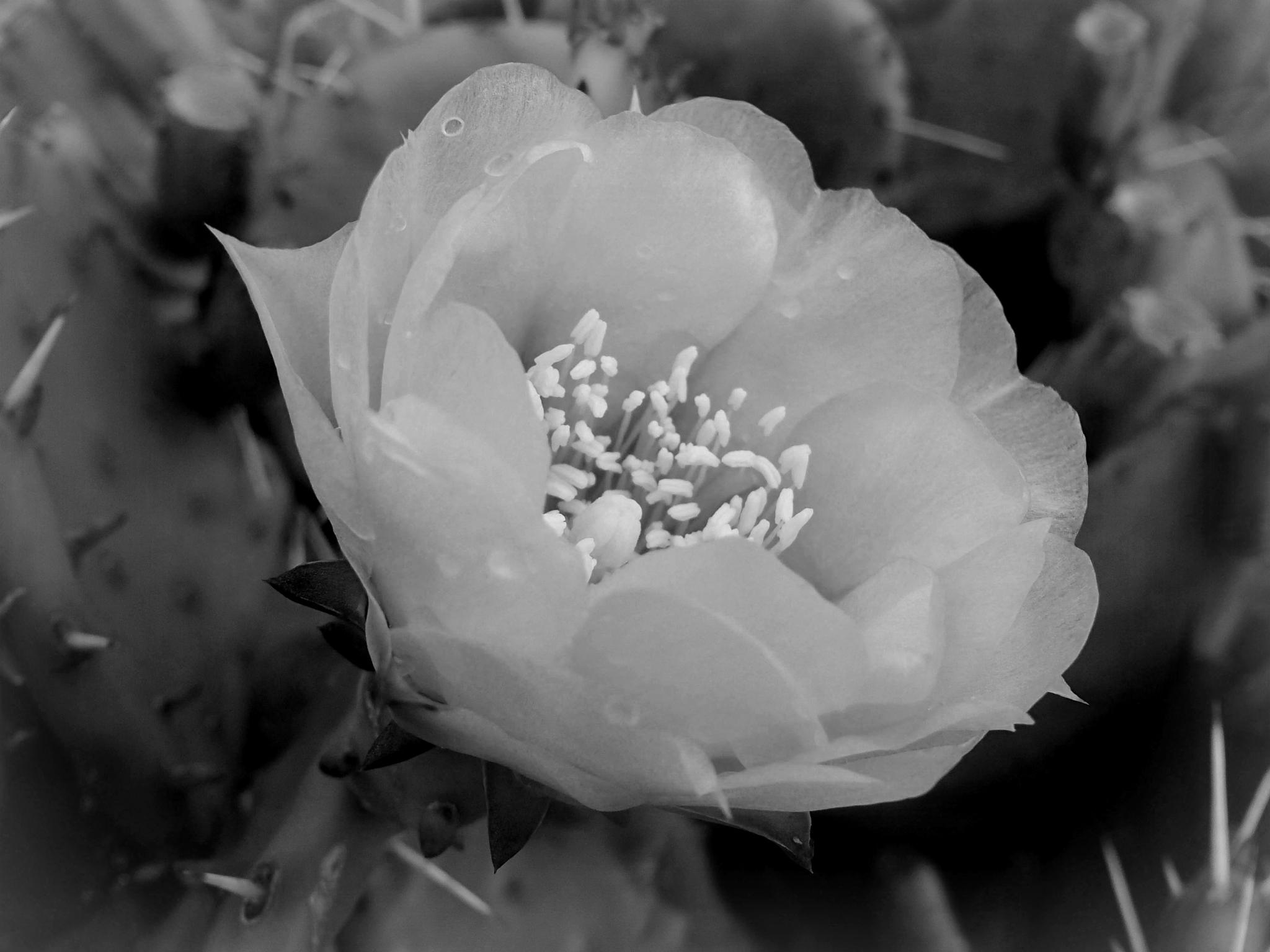 Cactus Flower And Thorns  by dmickler