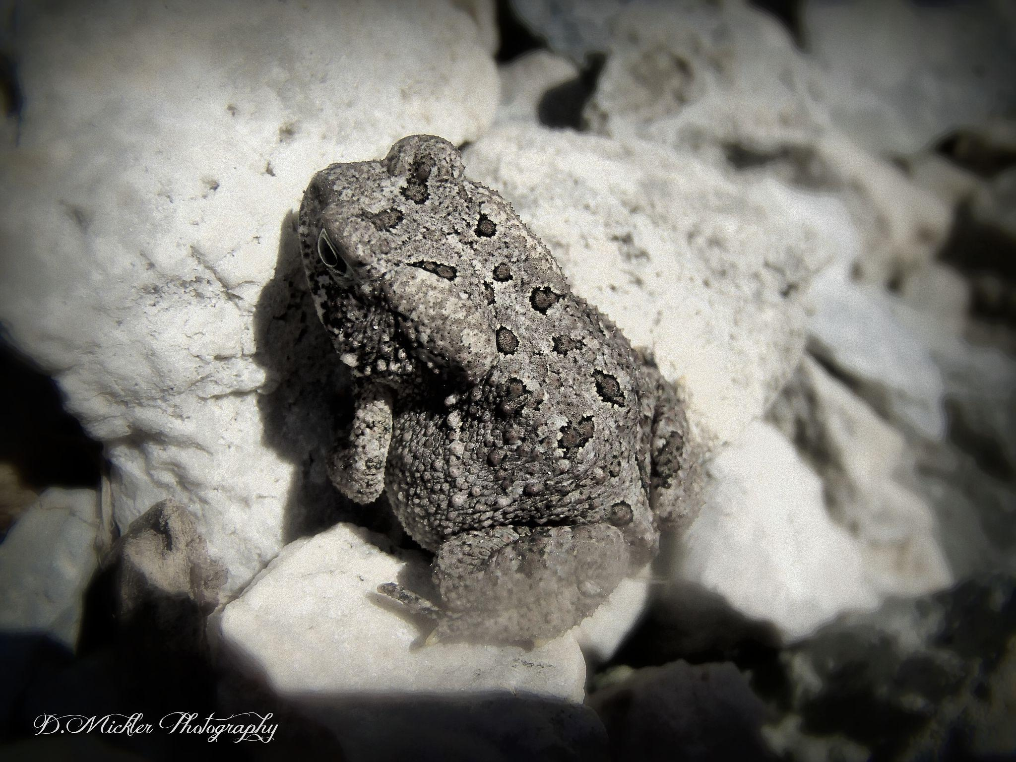 Sunning Toad by dmickler