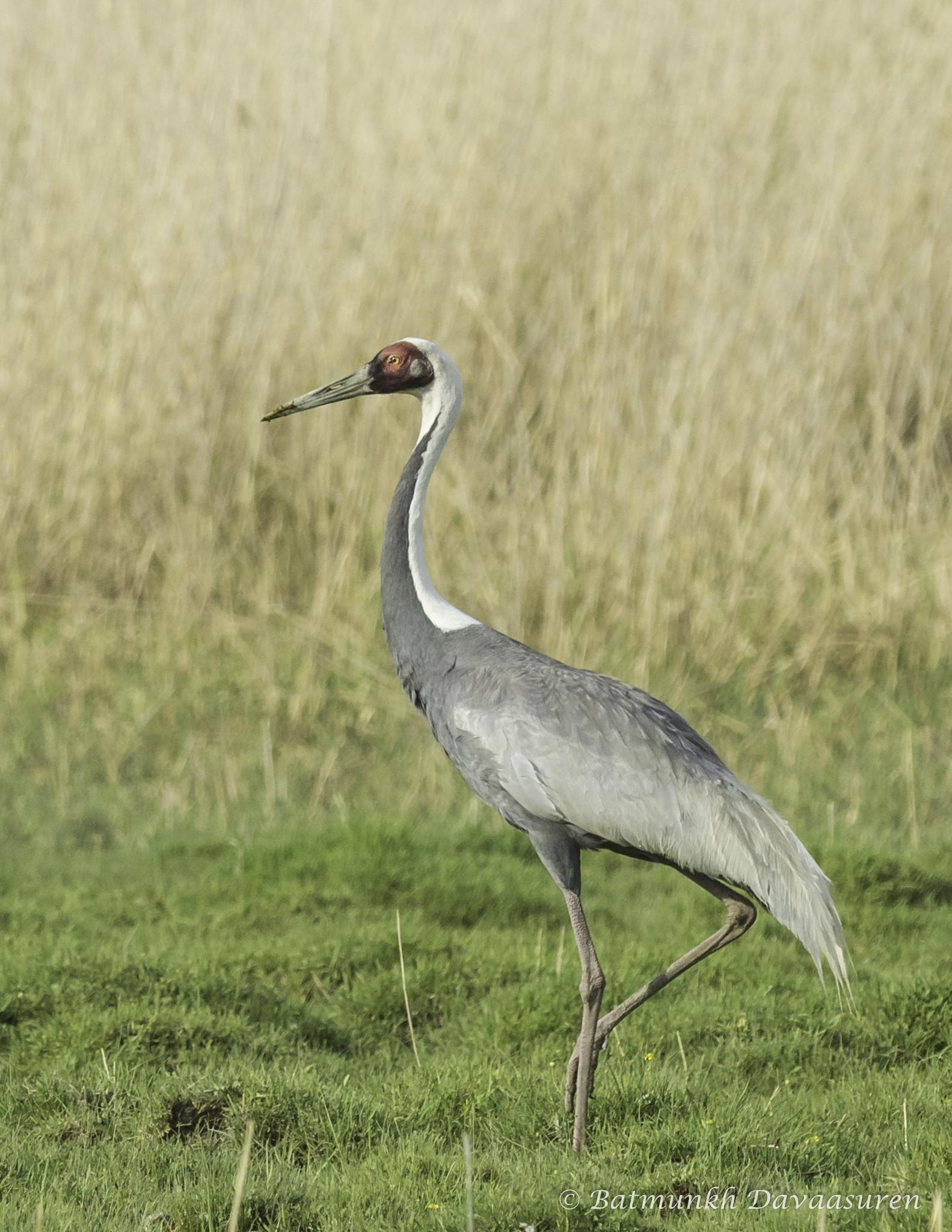 Photo in Animal #crane #rare #grus #birds of mongolia