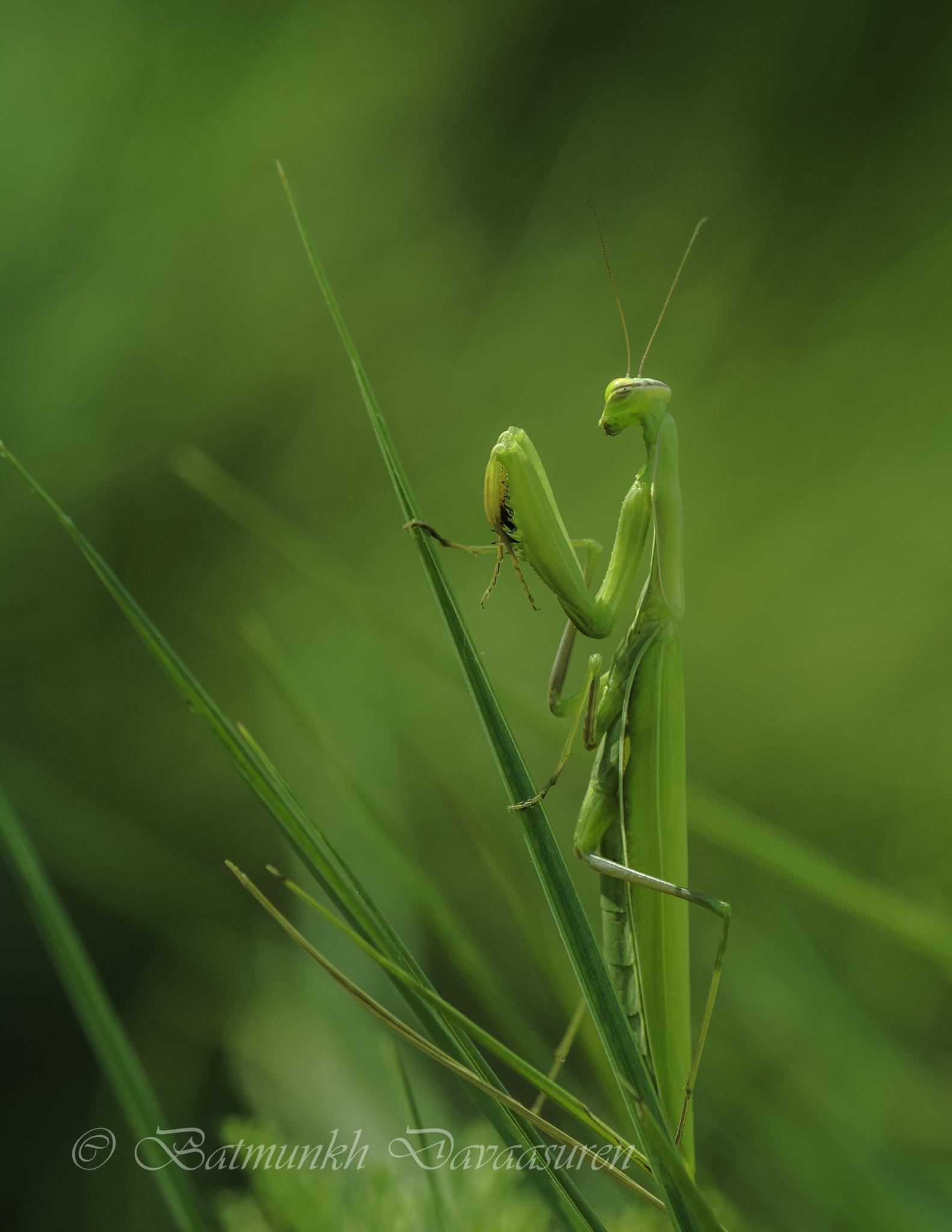 Praying mantis by batmunkhdavaasuren