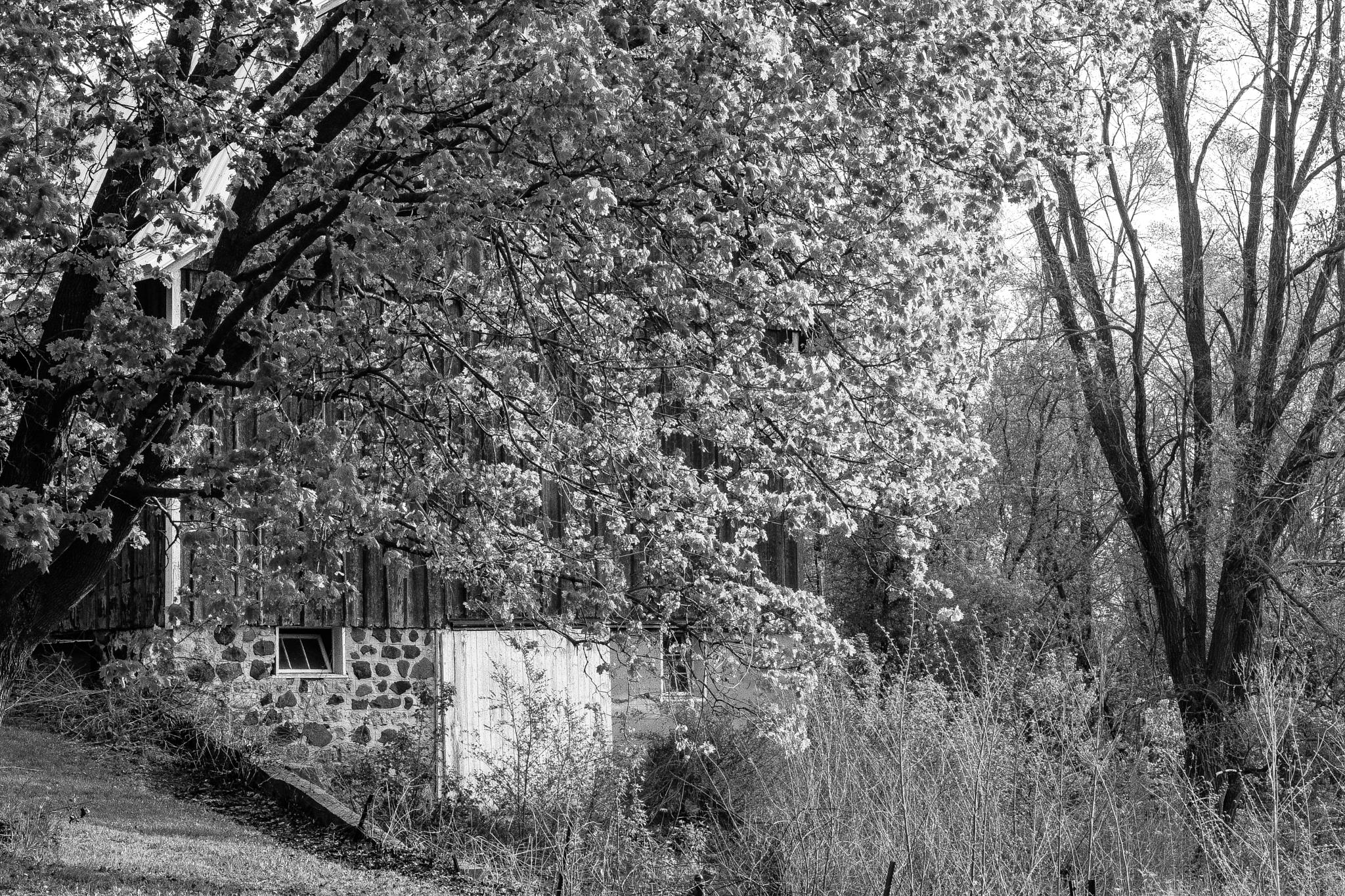 spring tree in front of an old barn in black and white by jason.lockhart.9