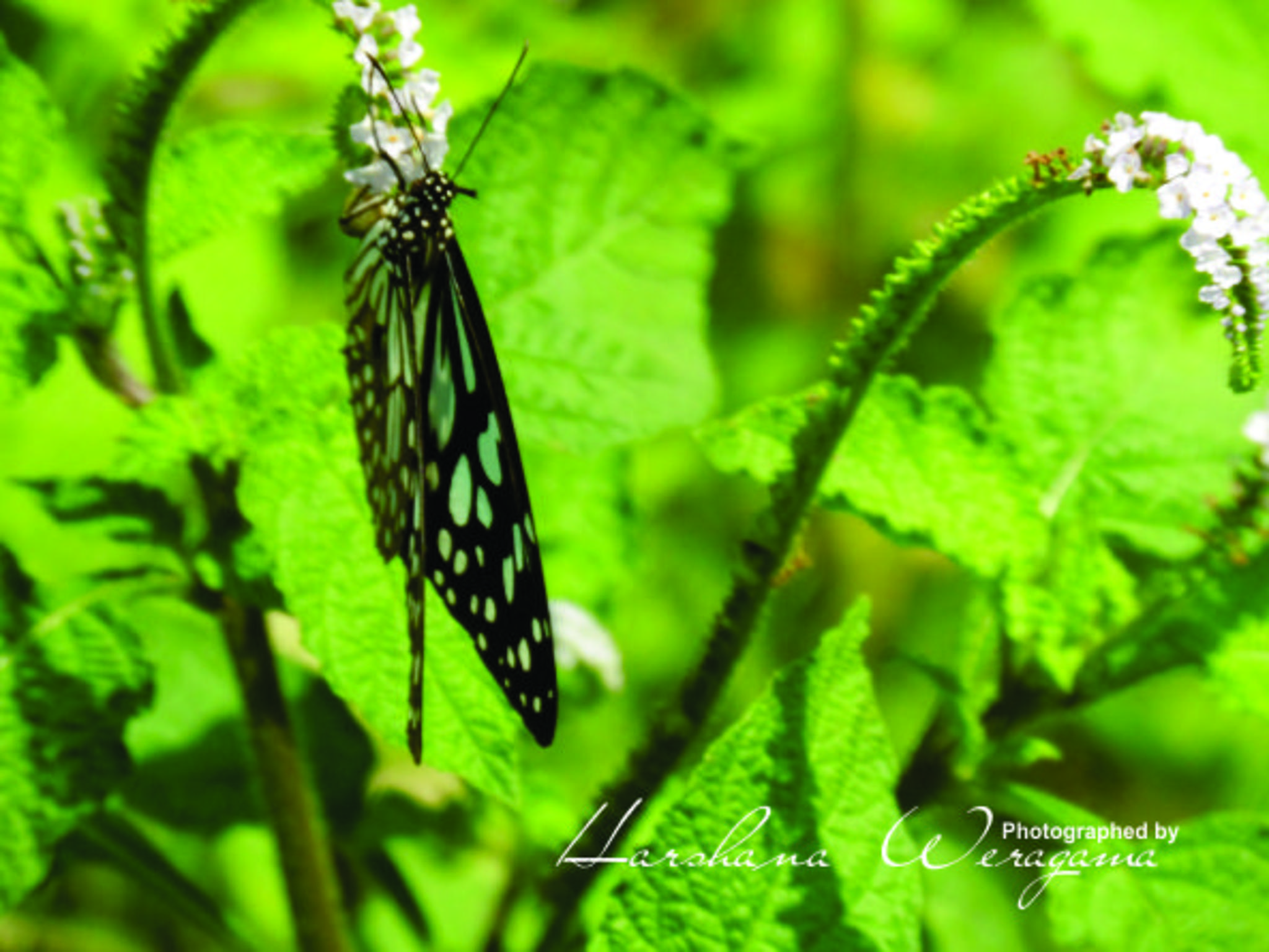 Butterfly and flower by harshana.weragama