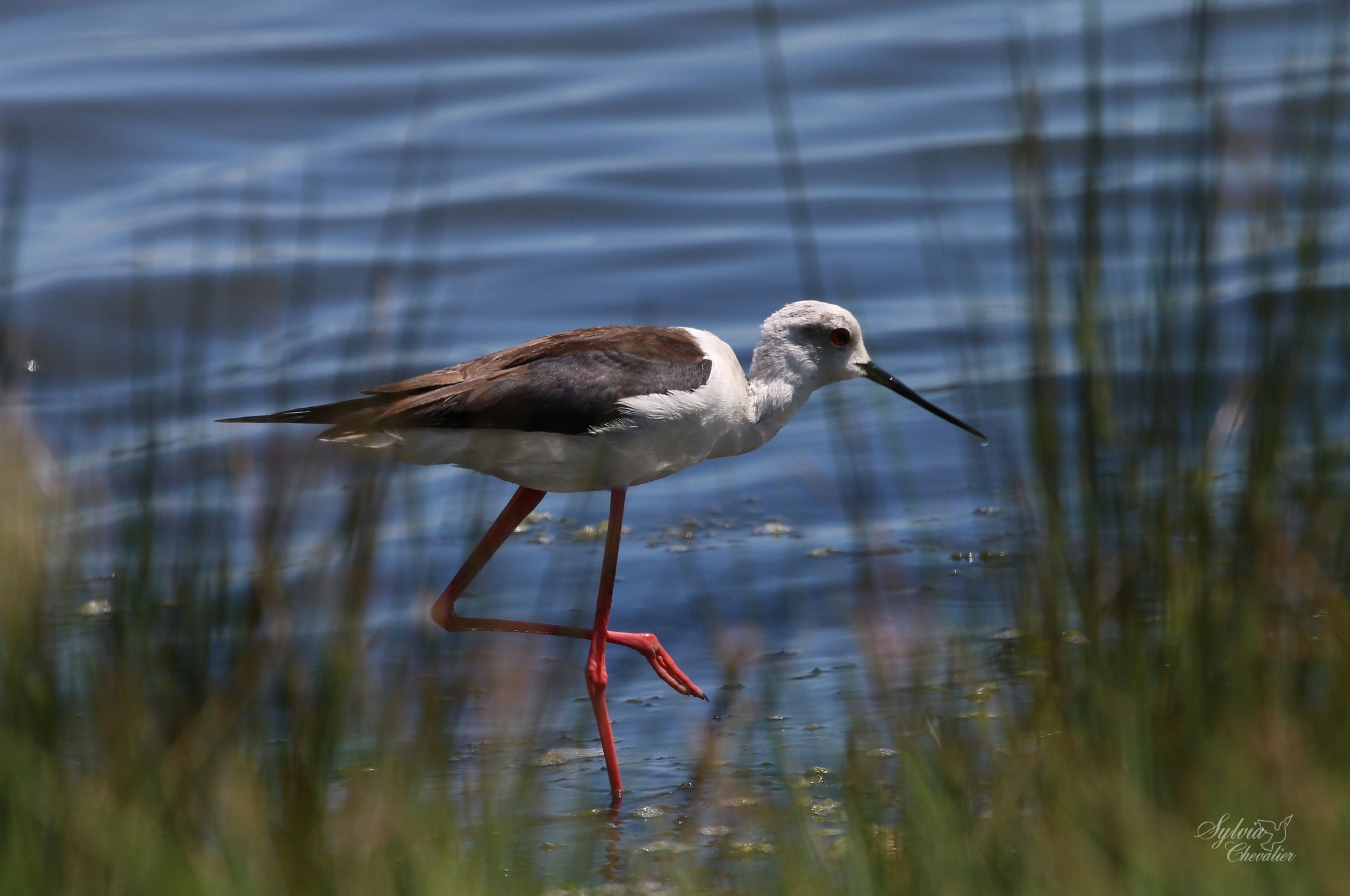 Échasse blanche : Himantopus himantopus :Black-winged Stilt by Chevalier Sylvia