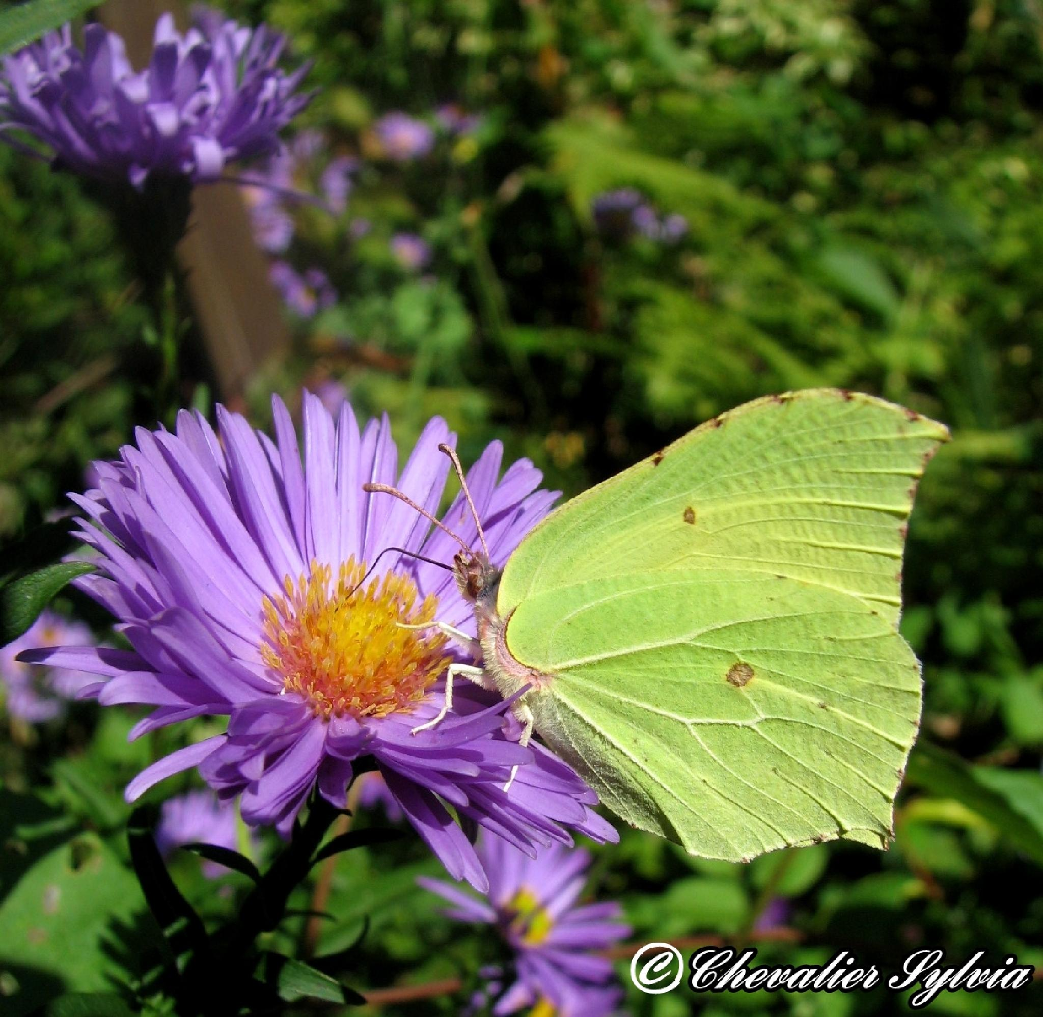 Papillon Le Citron by Chevalier Sylvia
