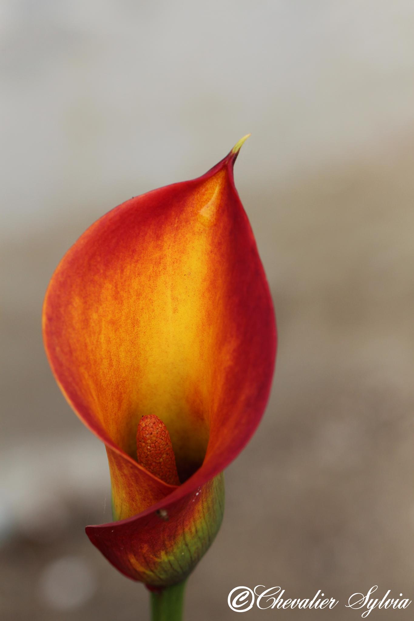 Fleur de Calla by Chevalier Sylvia