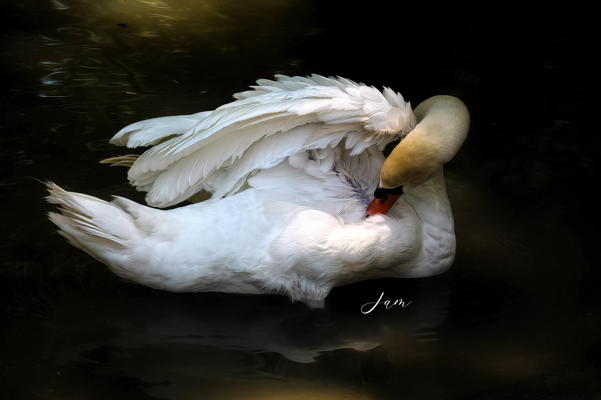Swan by jammiejam