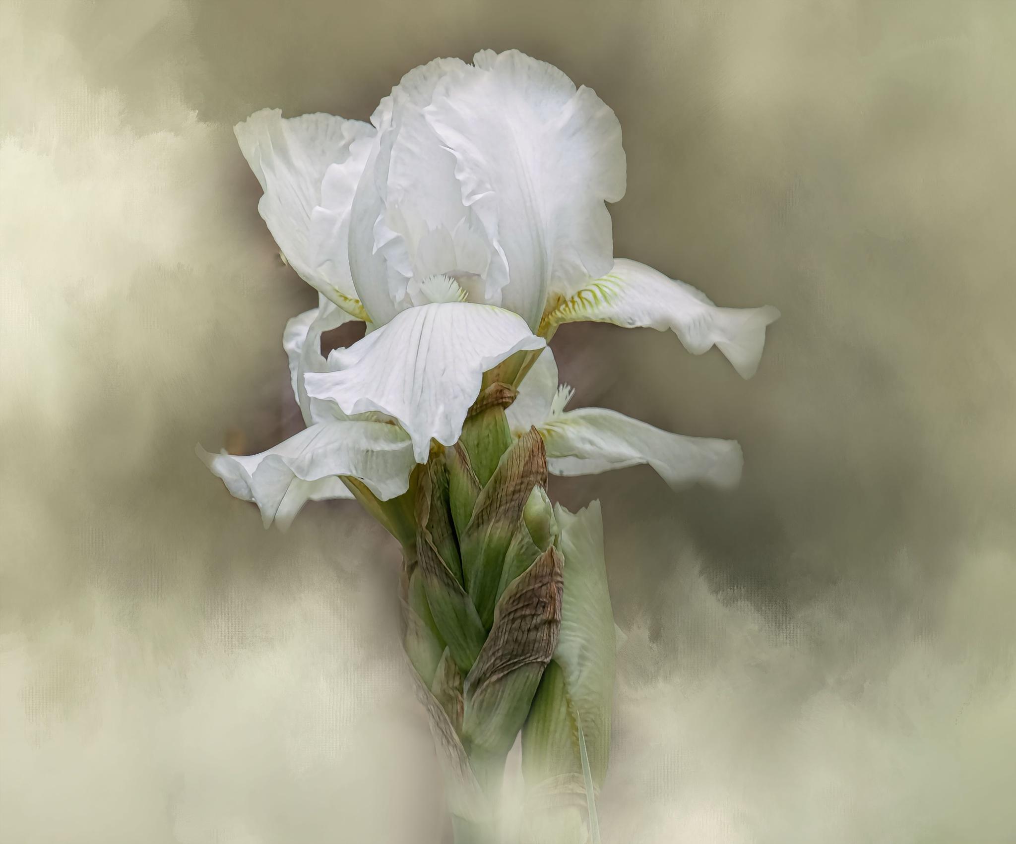 Iris by jammiejam