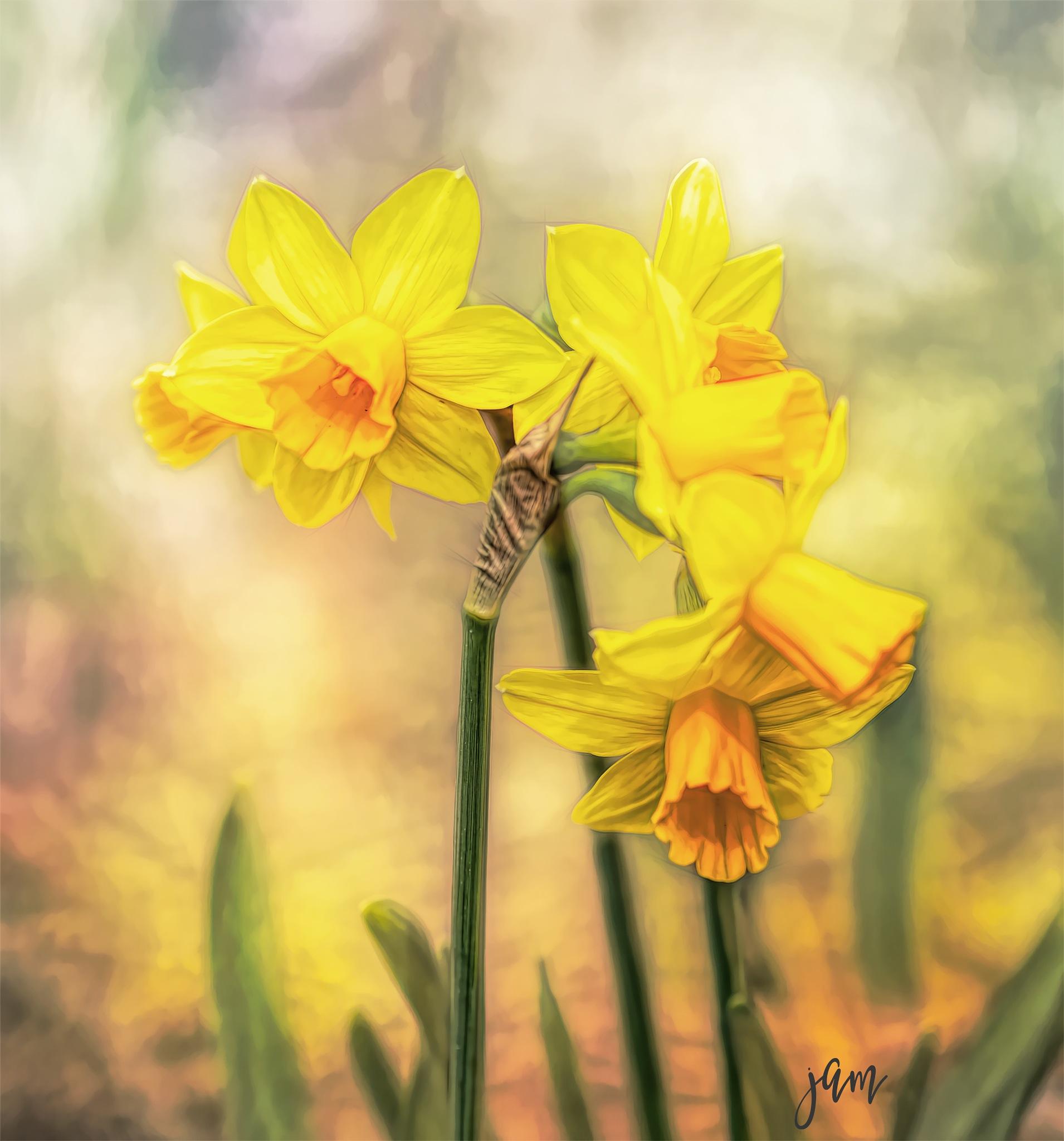 Daffodils by jammiejam