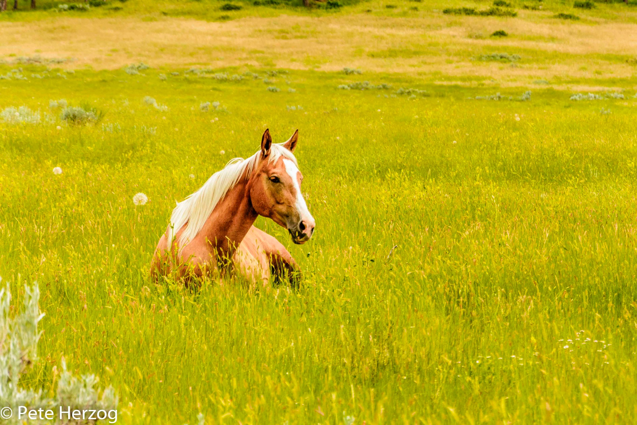 Horse Laying in Grass by peter.herzog.3323