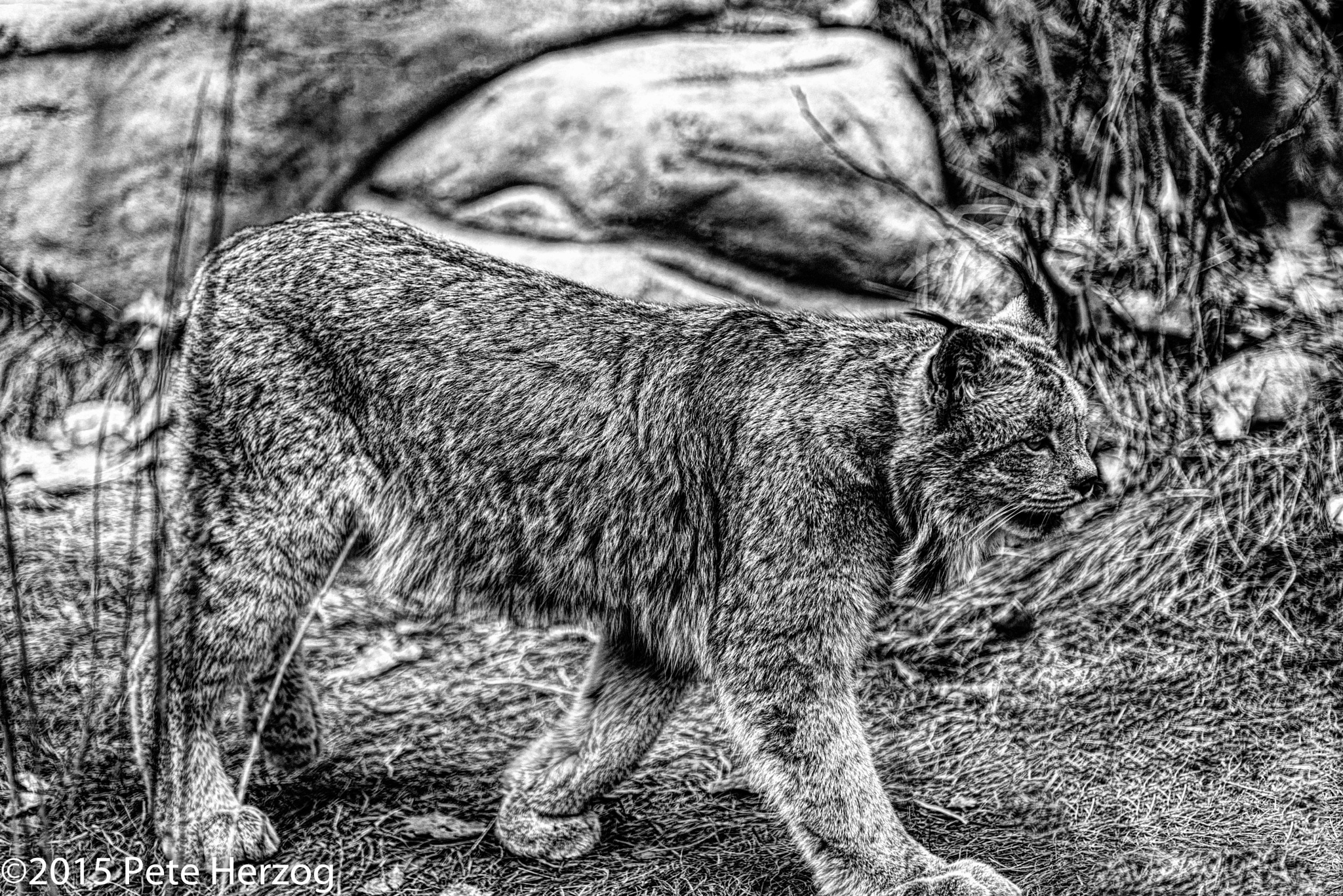 Canadian Lynx by peter.herzog.3323
