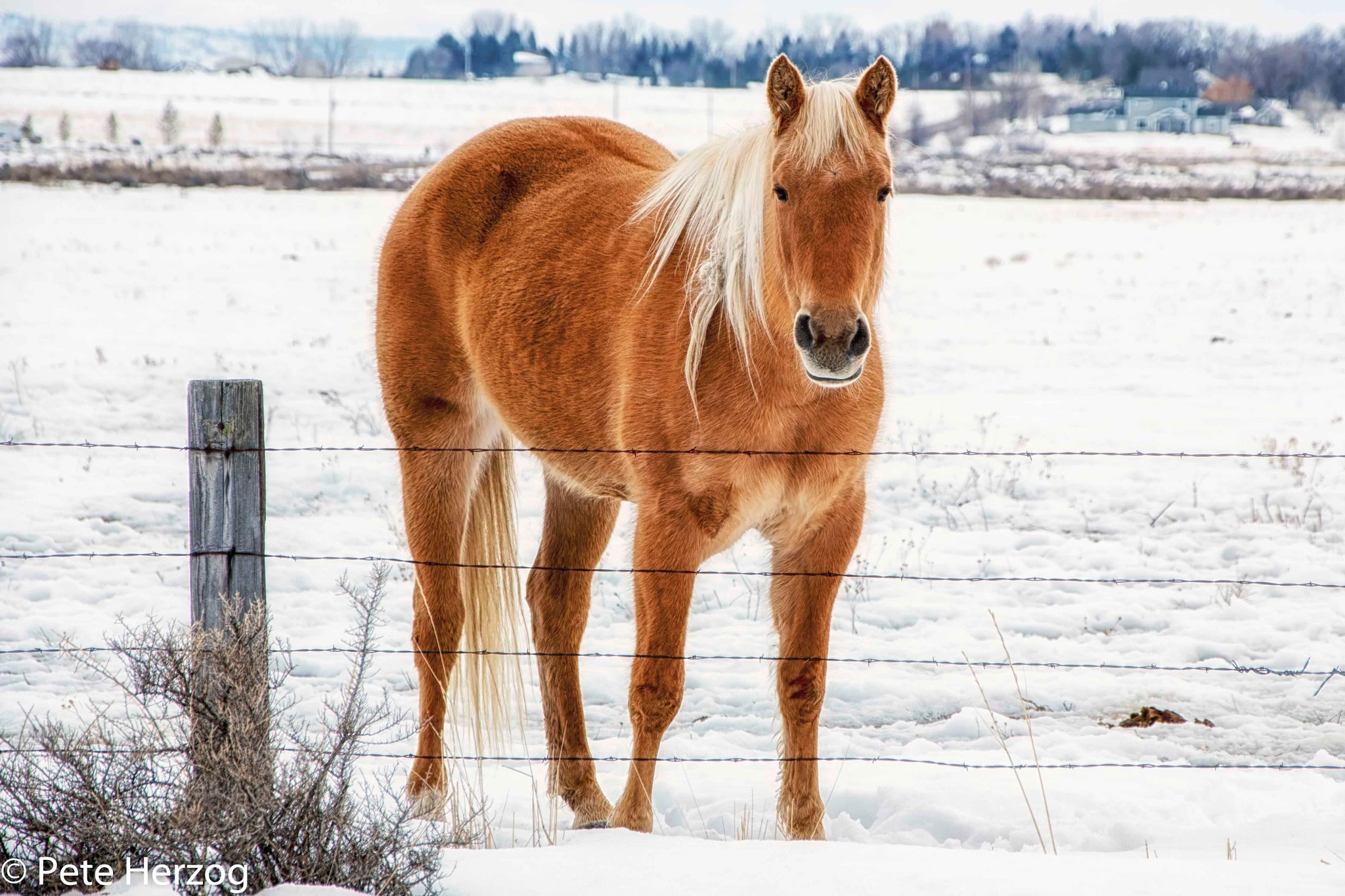 Golden Horse by peter.herzog.3323