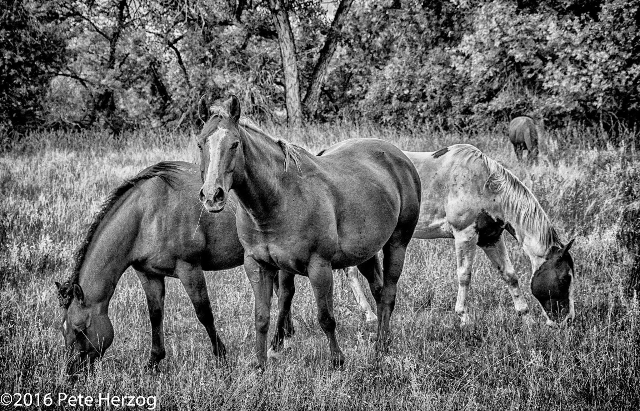 Horses Grazing by peter.herzog.3323