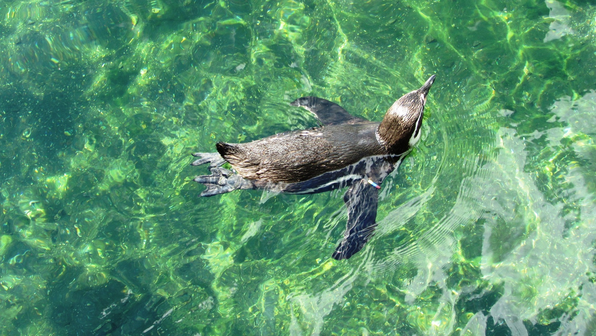 peruvian penguin relaxing in the water by gineke.sterenborg