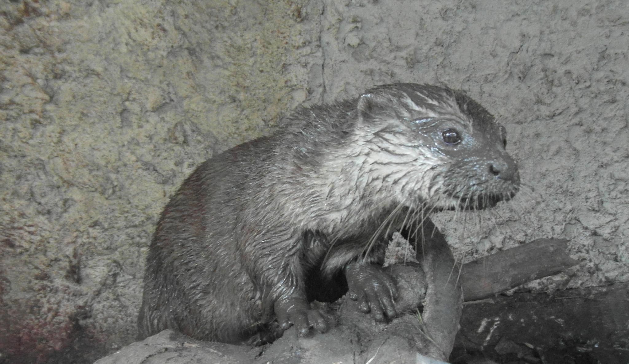 mud covered otter by gineke.sterenborg