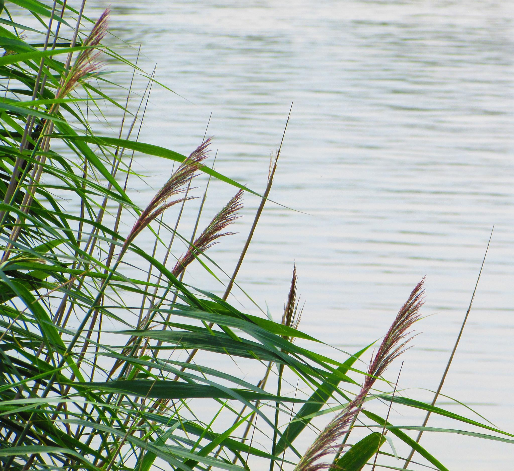 the reed at the waterside by gineke.sterenborg