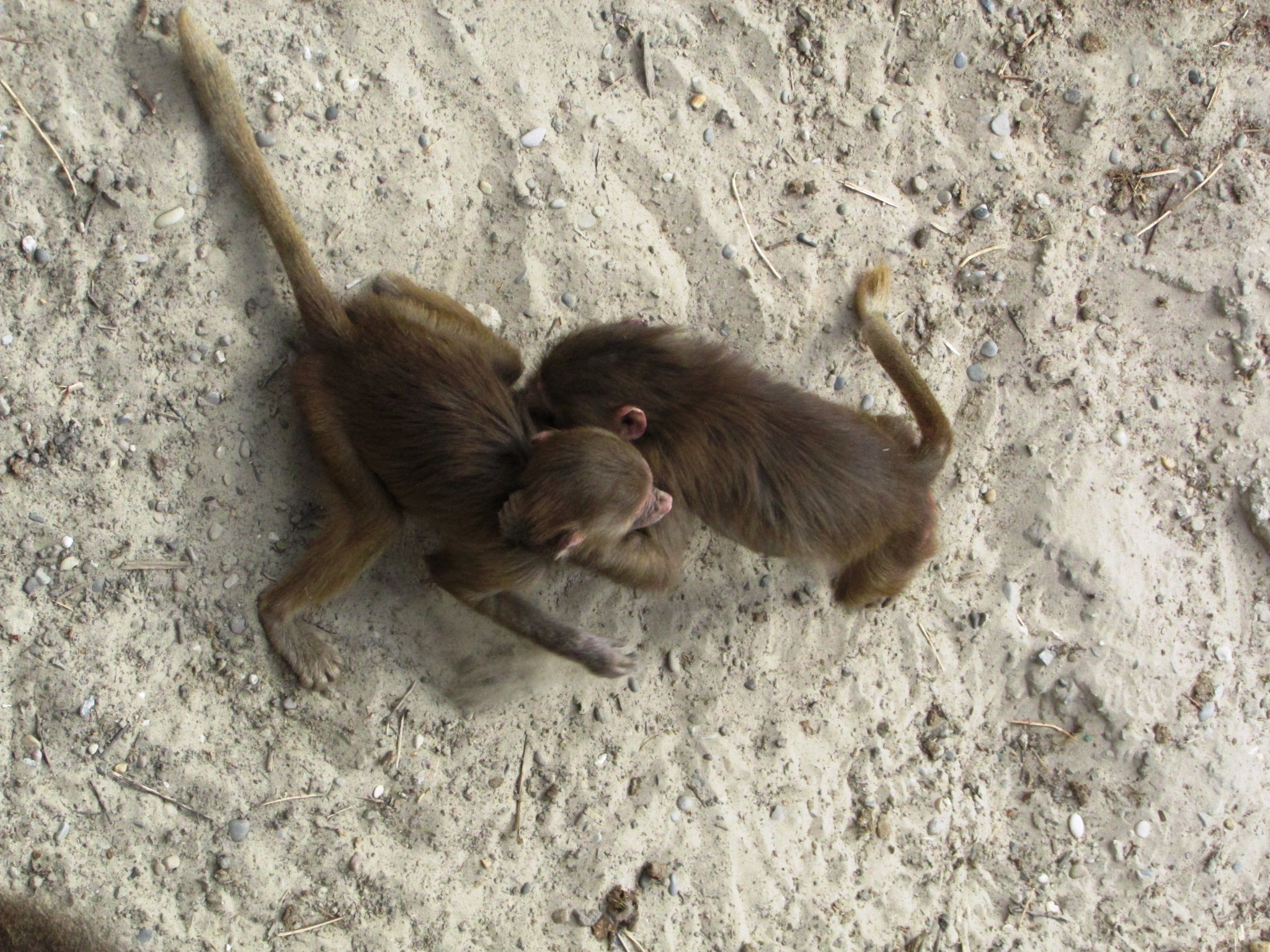 young baboons fighting by gineke.sterenborg