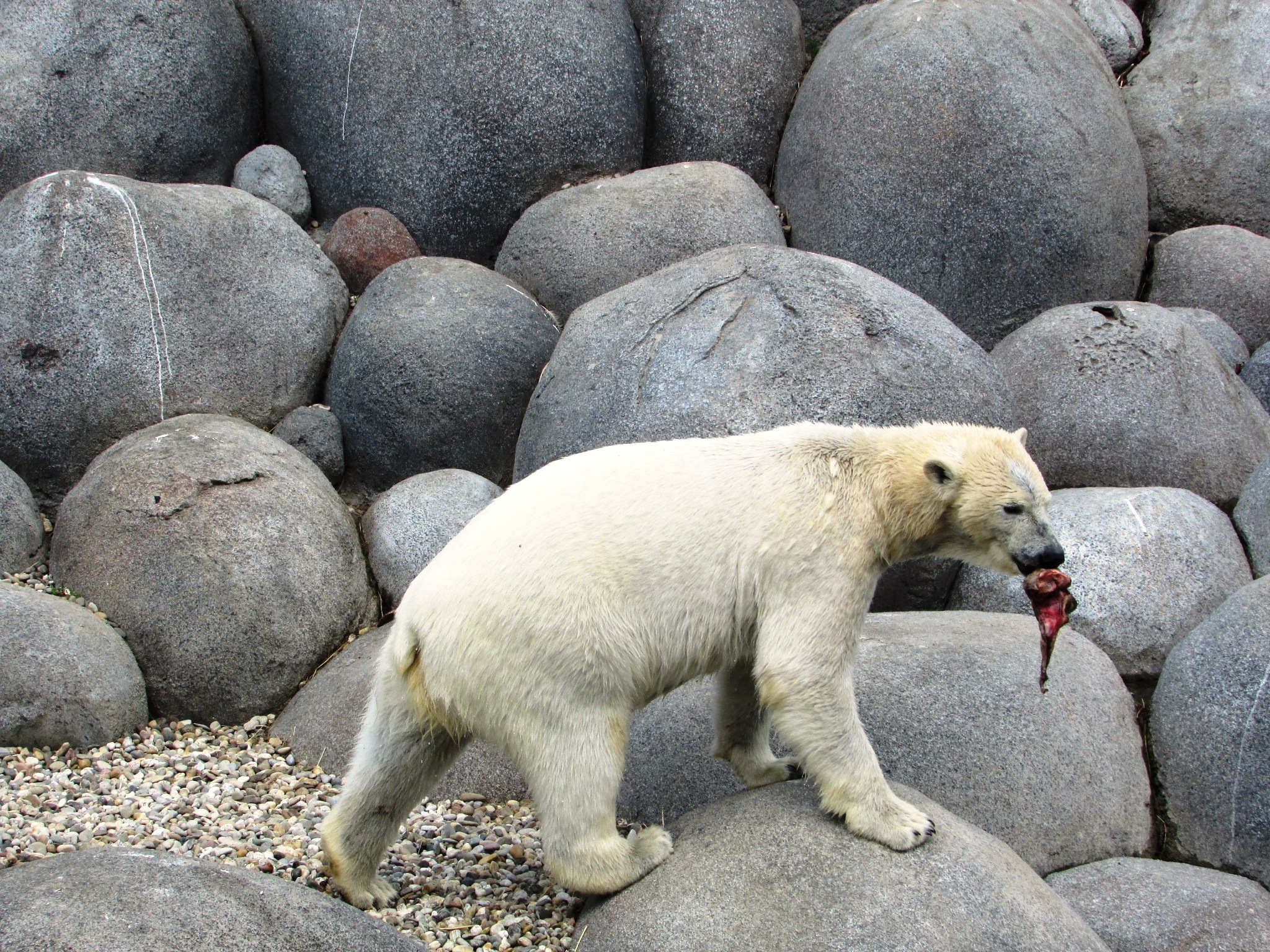 polar bear with a piece of meat by gineke.sterenborg
