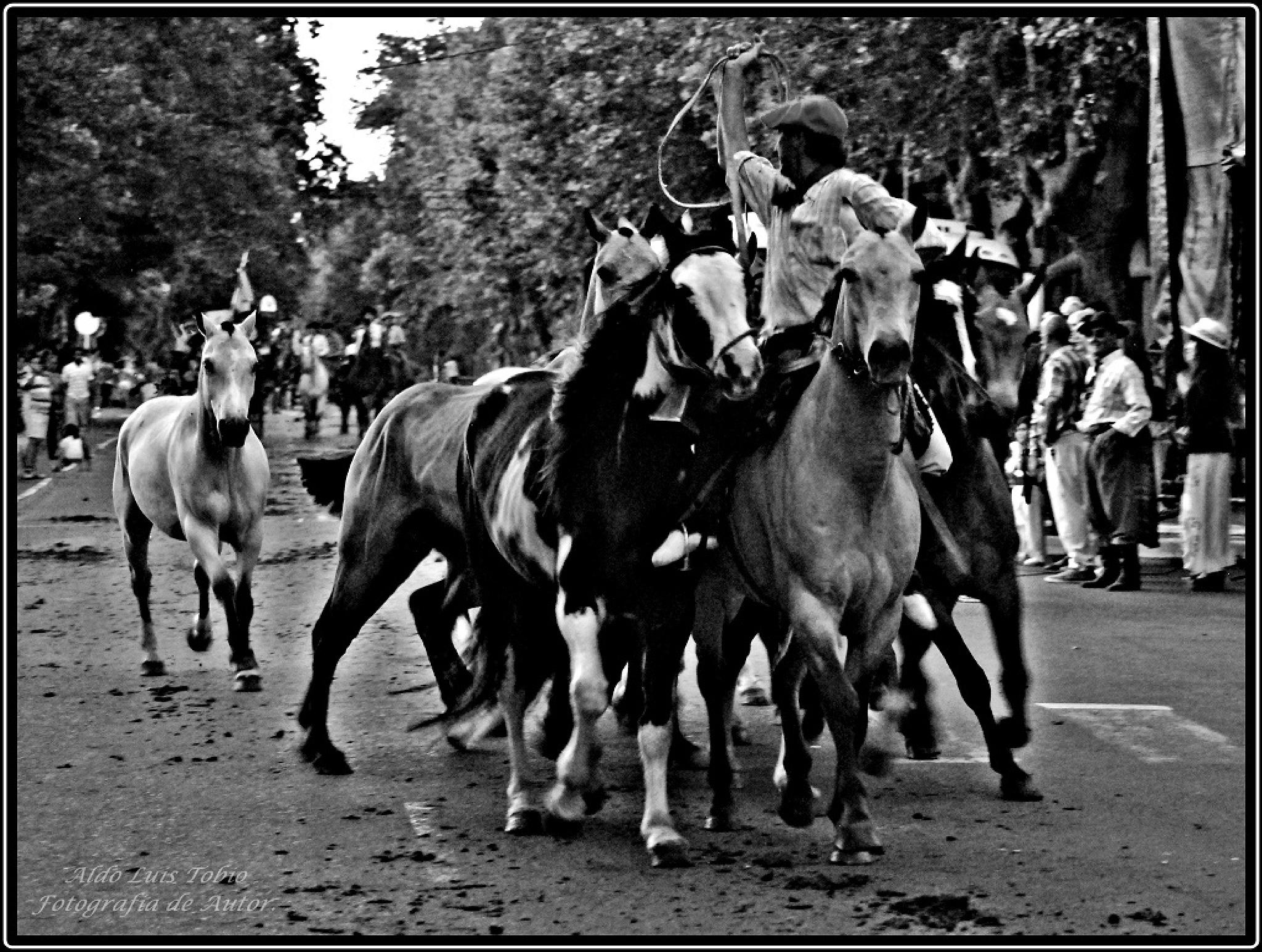 Caballos criollos by aldotobio