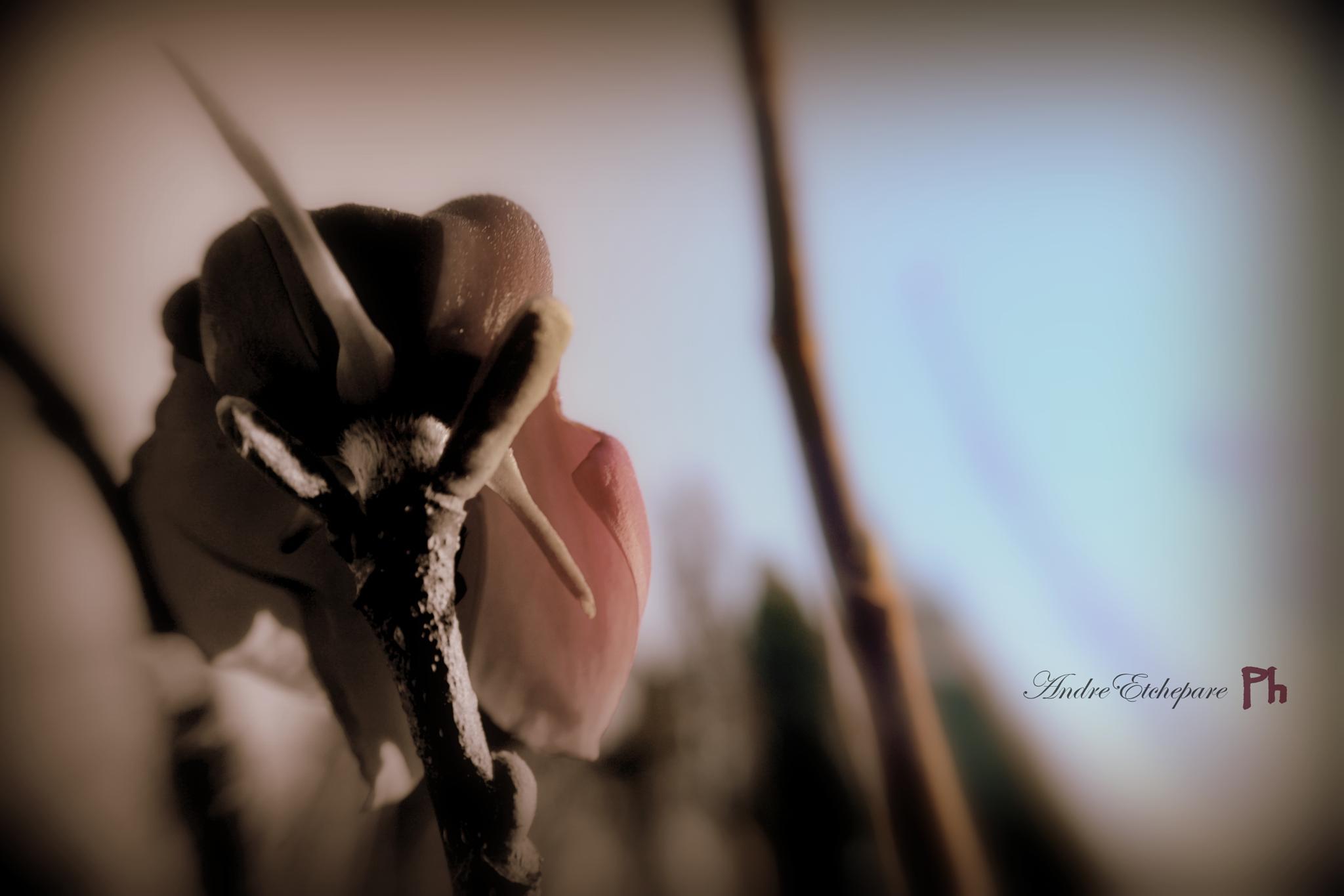 Amanecen Magnolias by as.etchepare