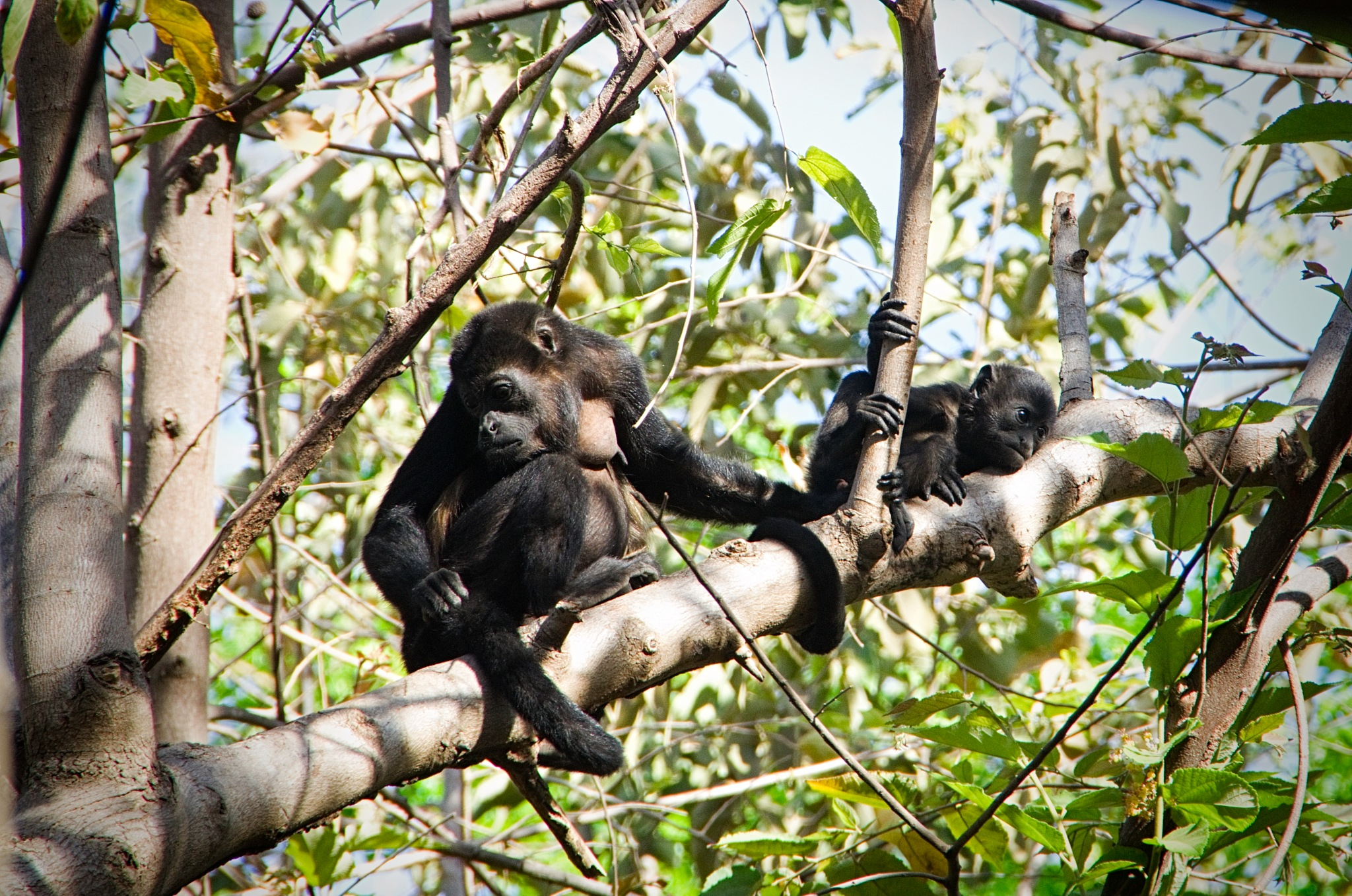 Mother & Baby Howler Monkey by Smilin' Dog
