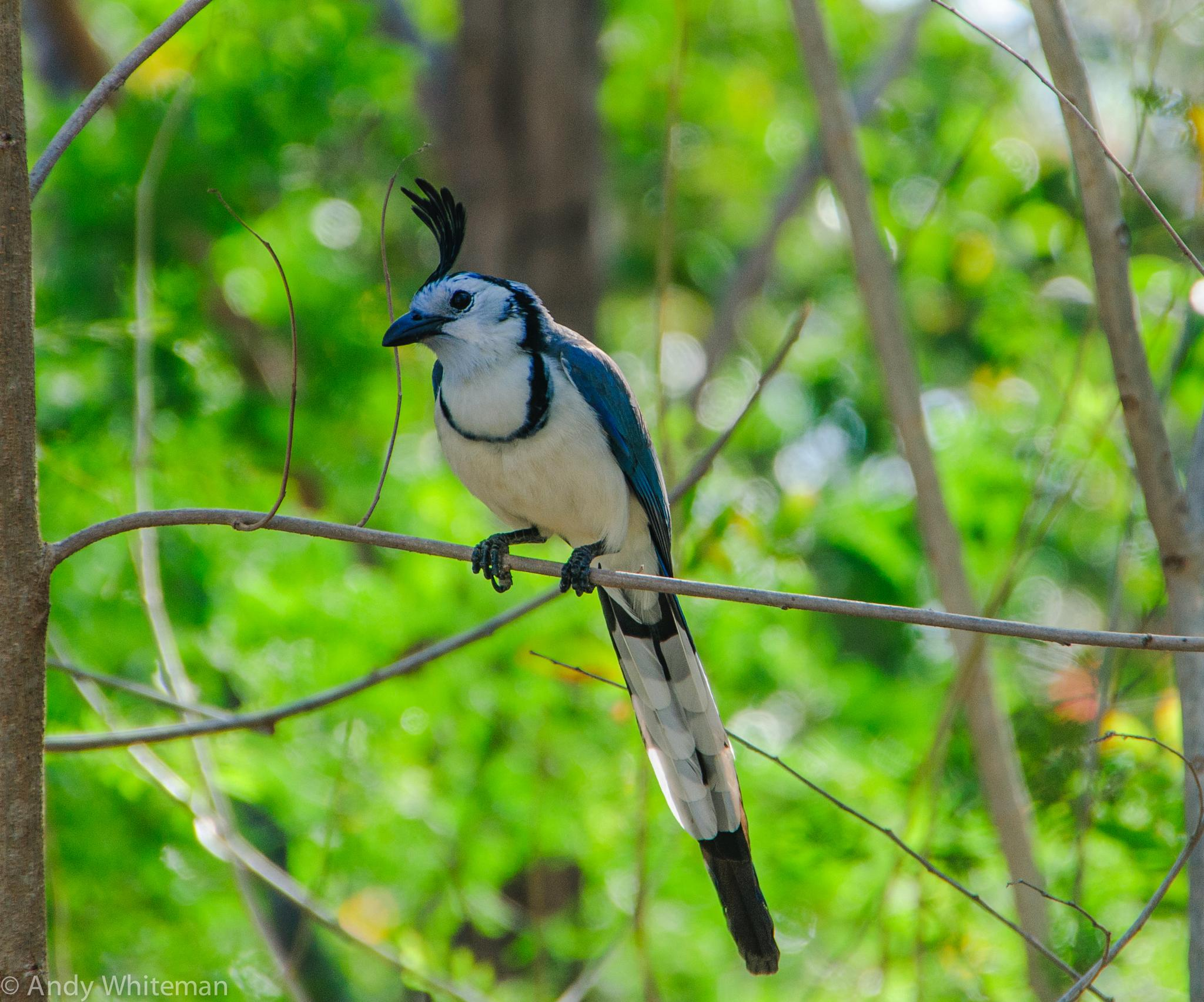 White Throated Magpie Jay by Smilin' Dog