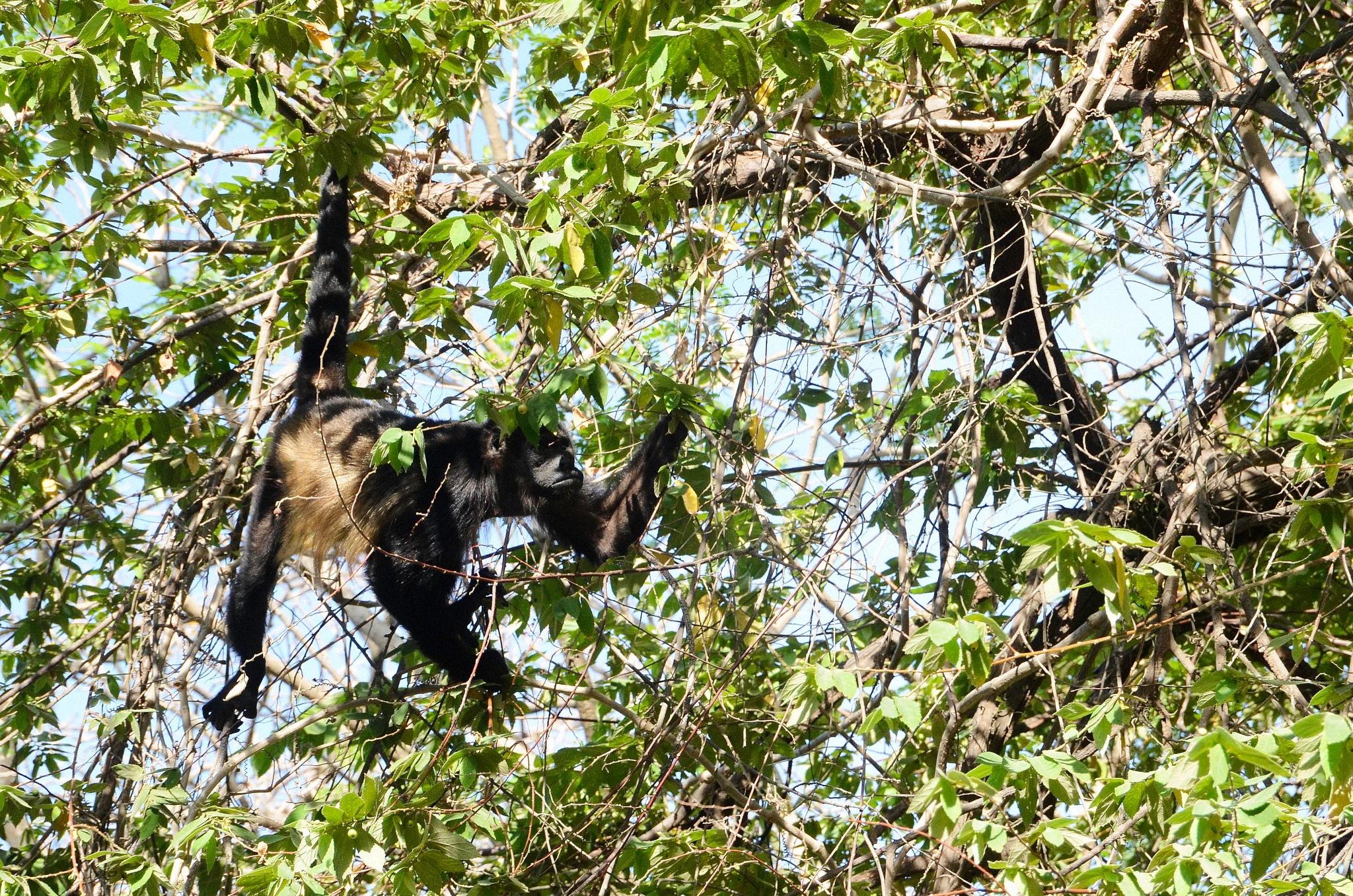 Female Howler Monkey by Smilin' Dog
